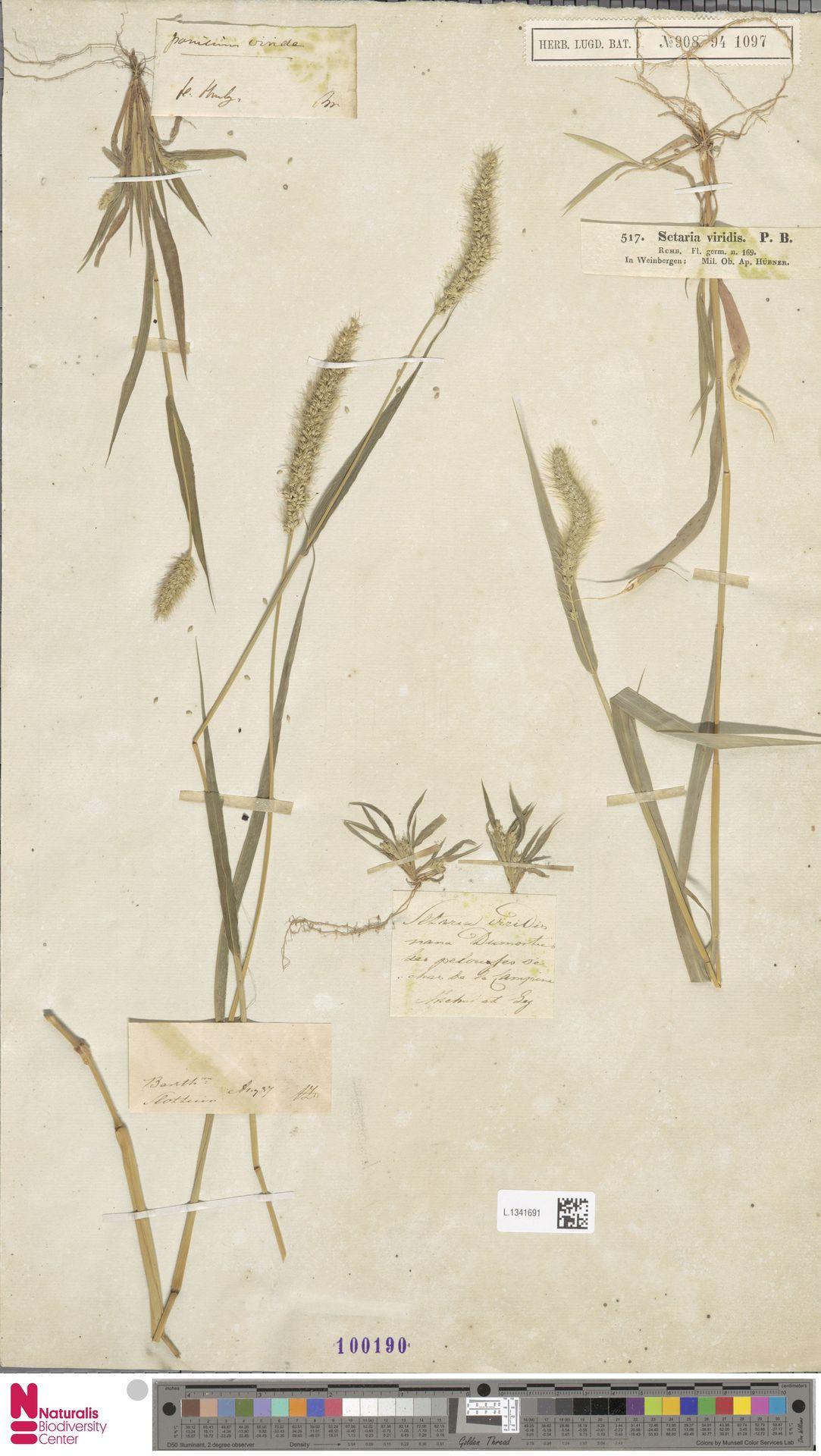 L.1341691 | Setaria viridis (L.) P.Beauv.