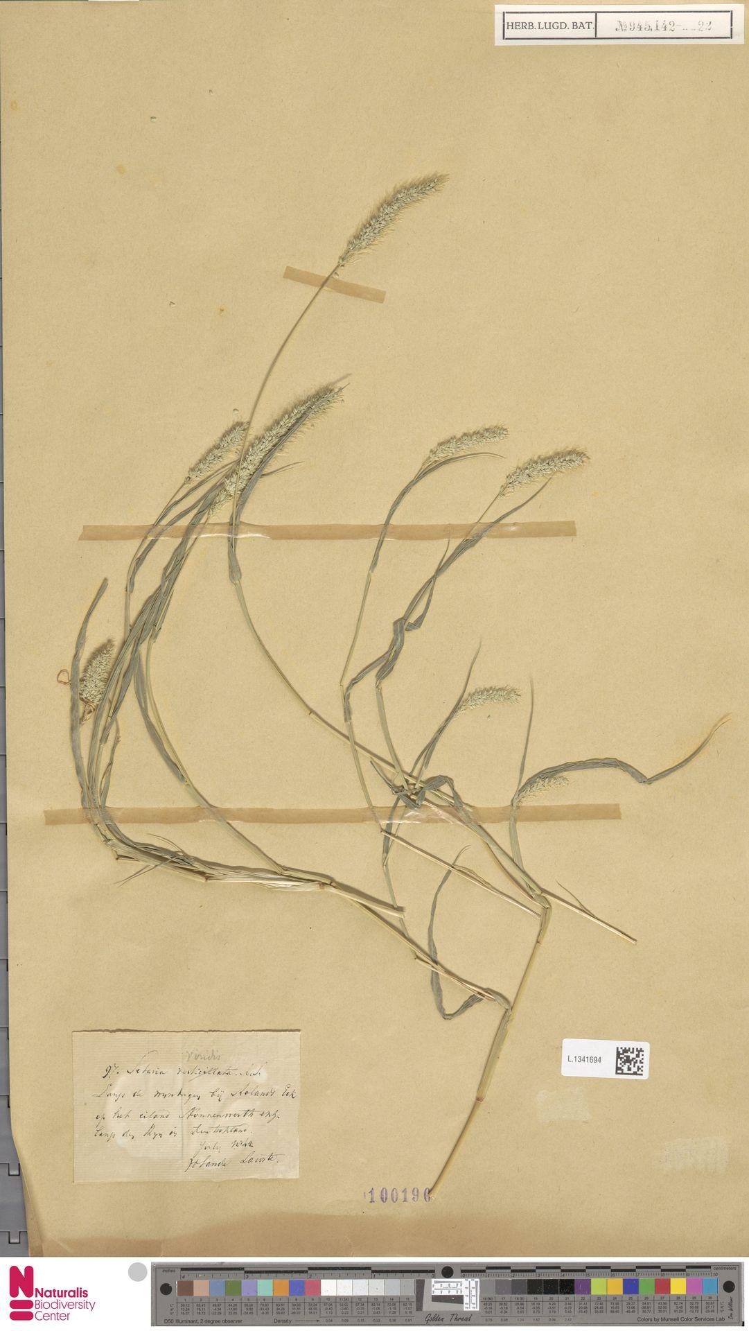 L.1341694 | Setaria viridis (L.) P.Beauv.