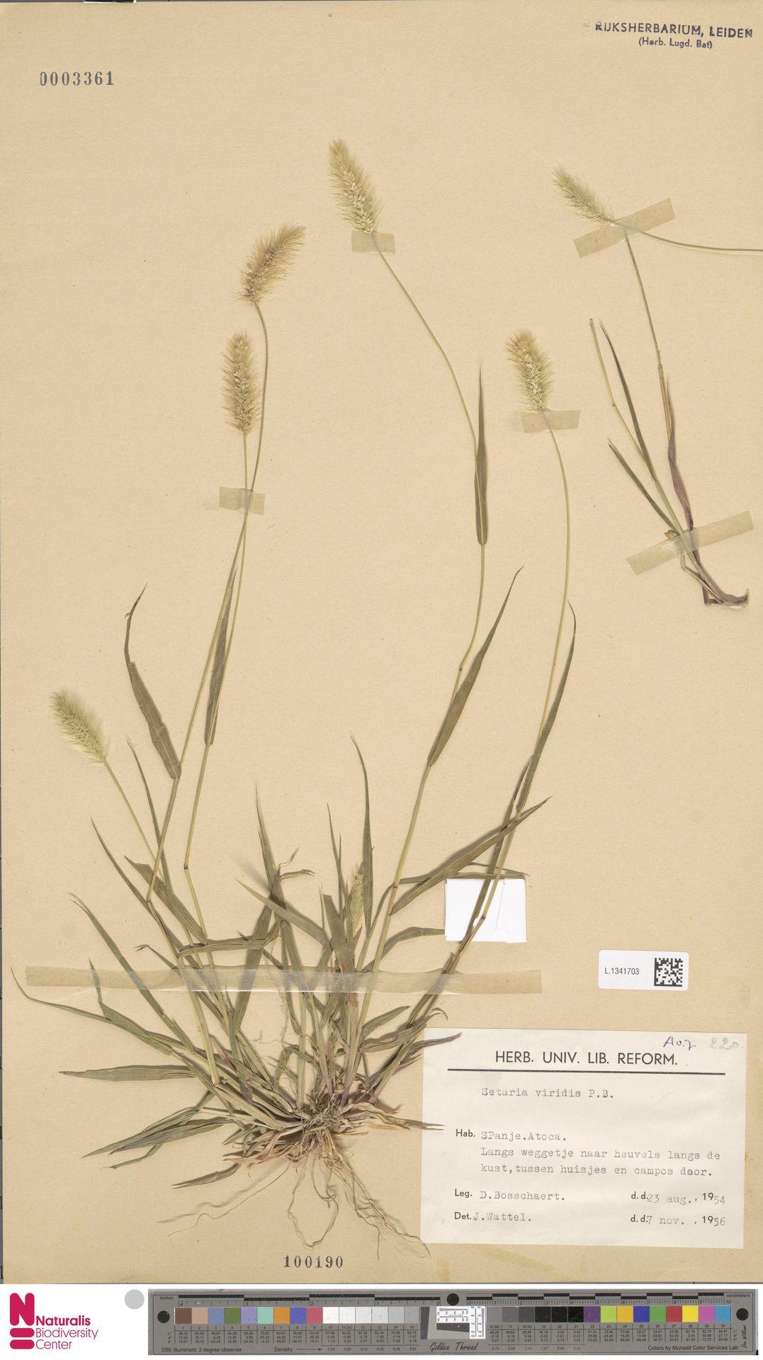 L.1341703 | Setaria viridis (L.) P.Beauv.