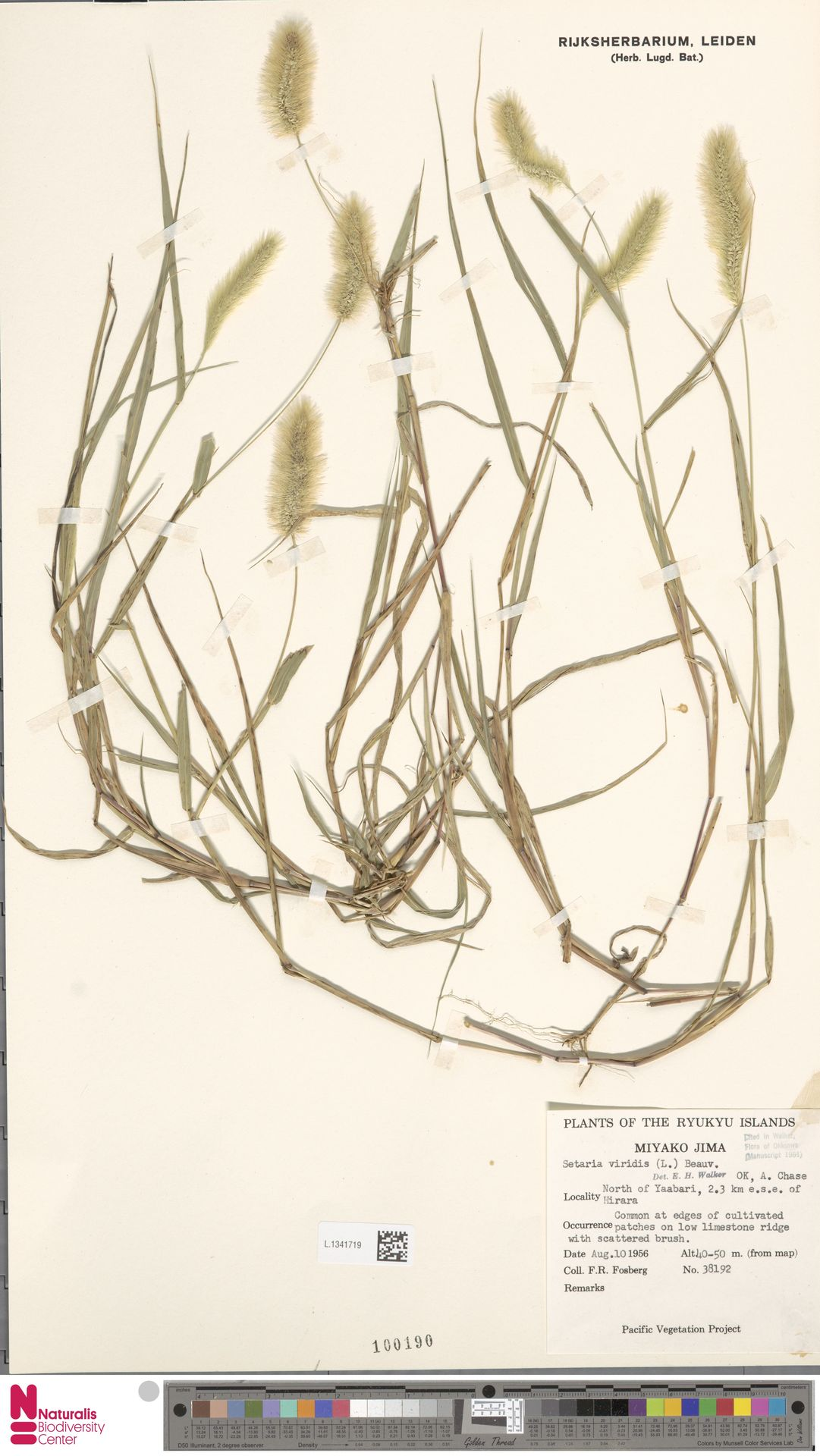 L.1341719 | Setaria viridis (L.) P.Beauv.