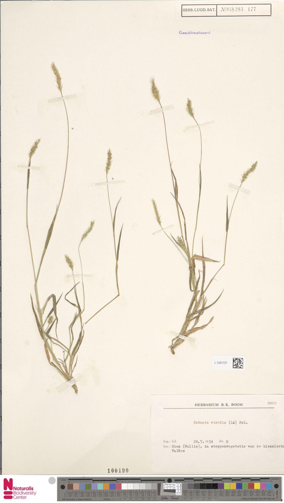 L.1341721   Setaria viridis (L.) P.Beauv.