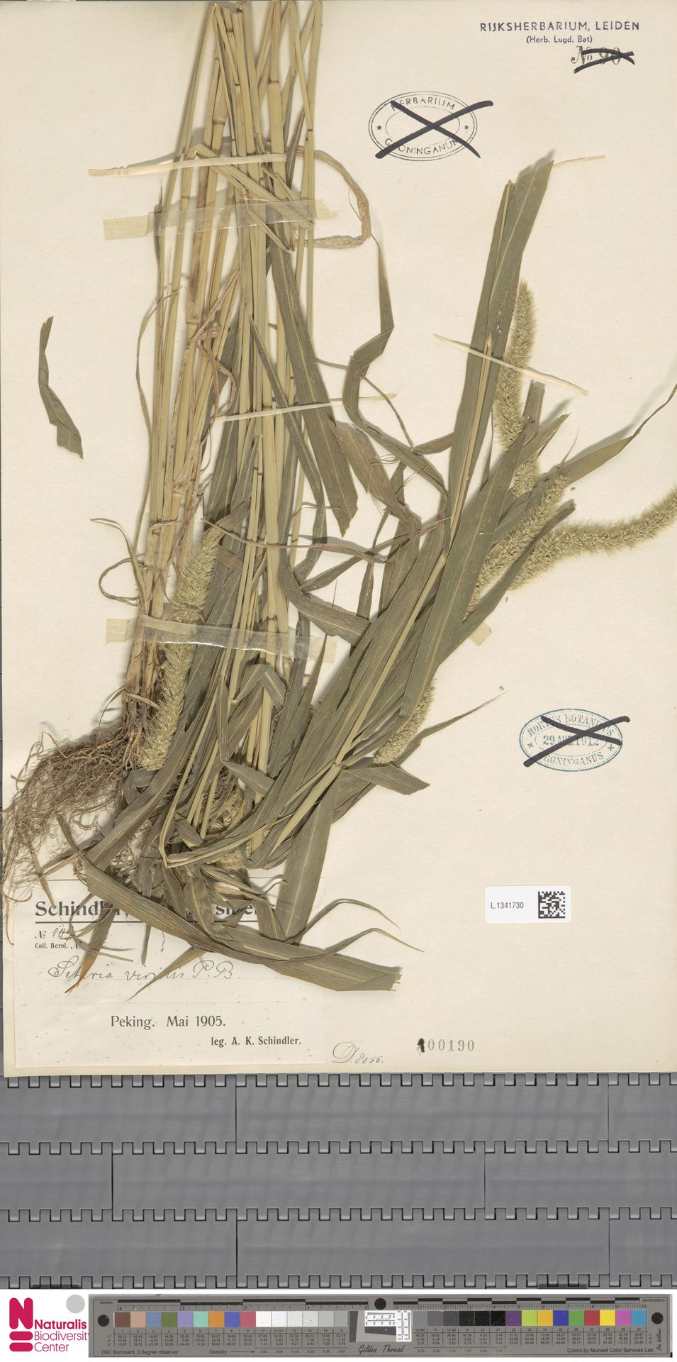 L.1341730   Setaria viridis (L.) P.Beauv.