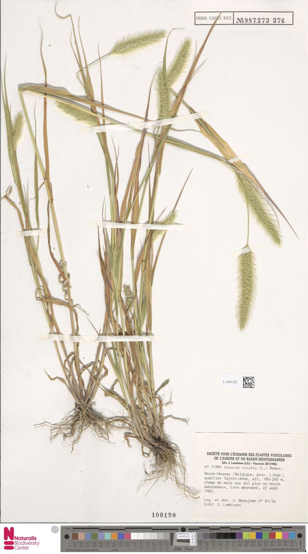 L.1341733 | Setaria viridis (L.) P.Beauv.