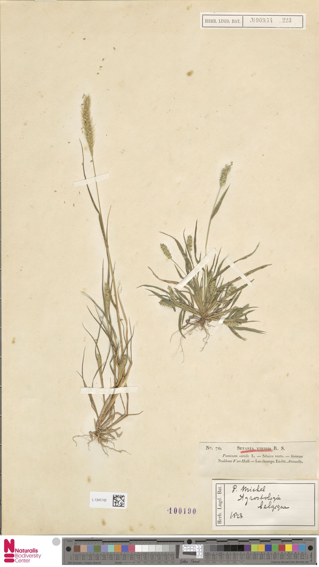 L.1341742   Setaria viridis (L.) P.Beauv.