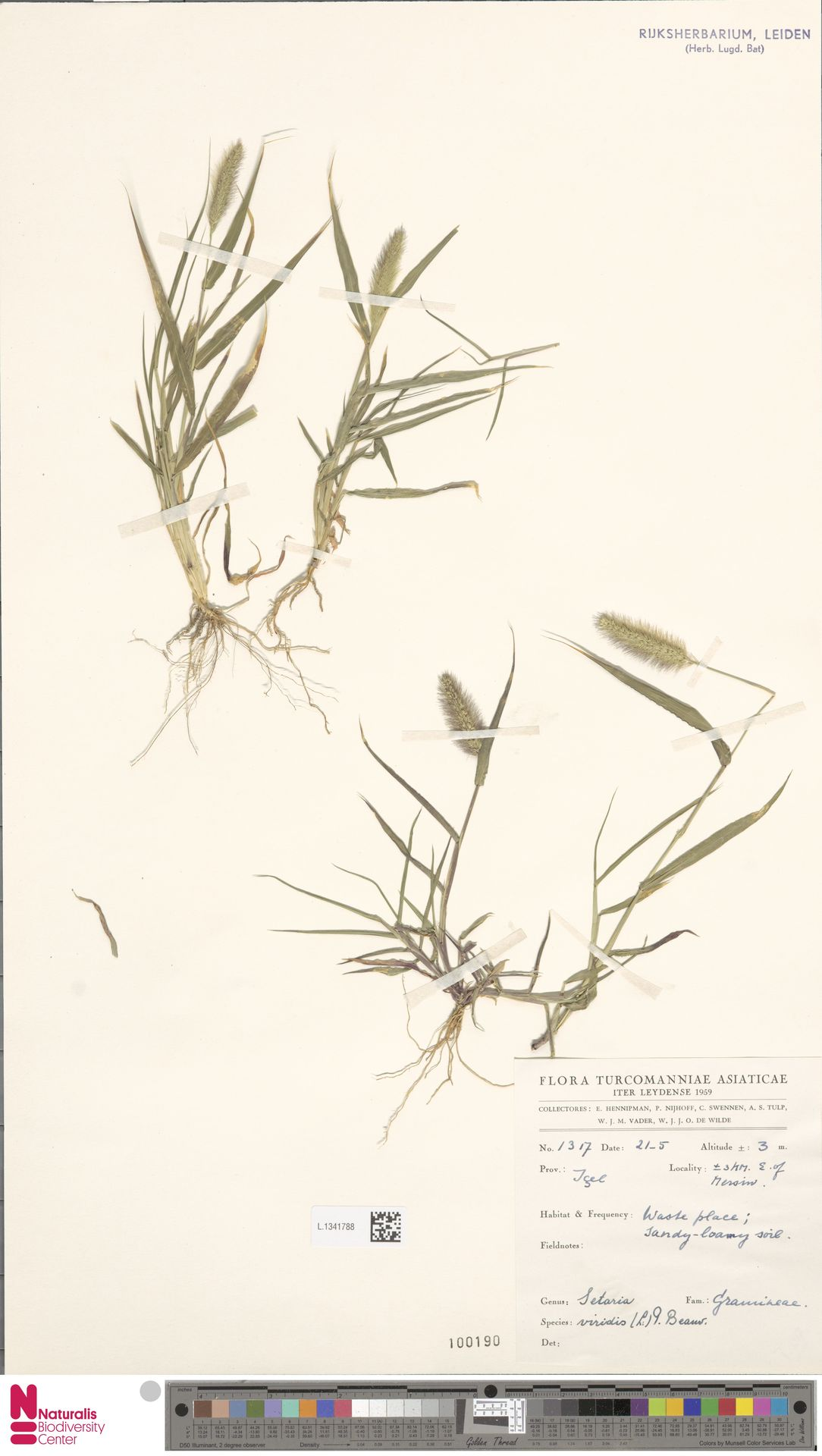 L.1341788 | Setaria viridis (L.) P.Beauv.