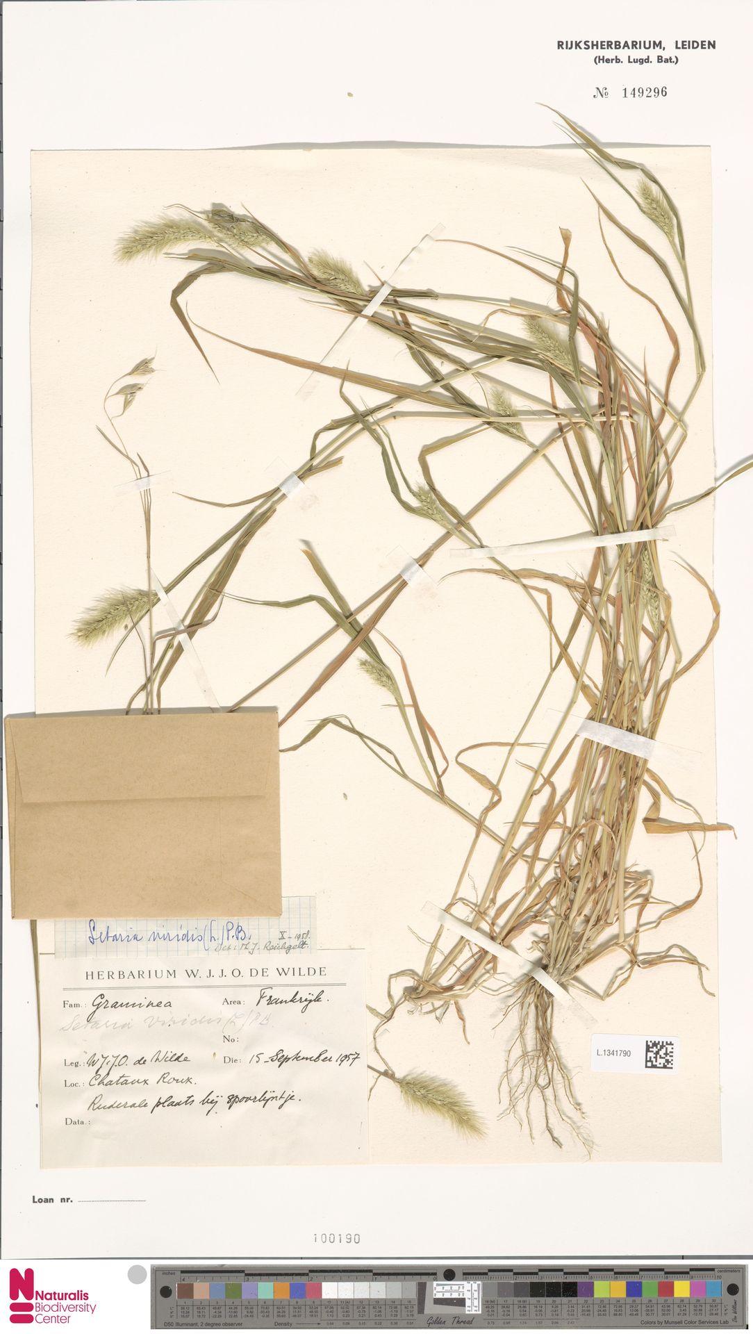 L.1341790 | Setaria viridis (L.) P.Beauv.