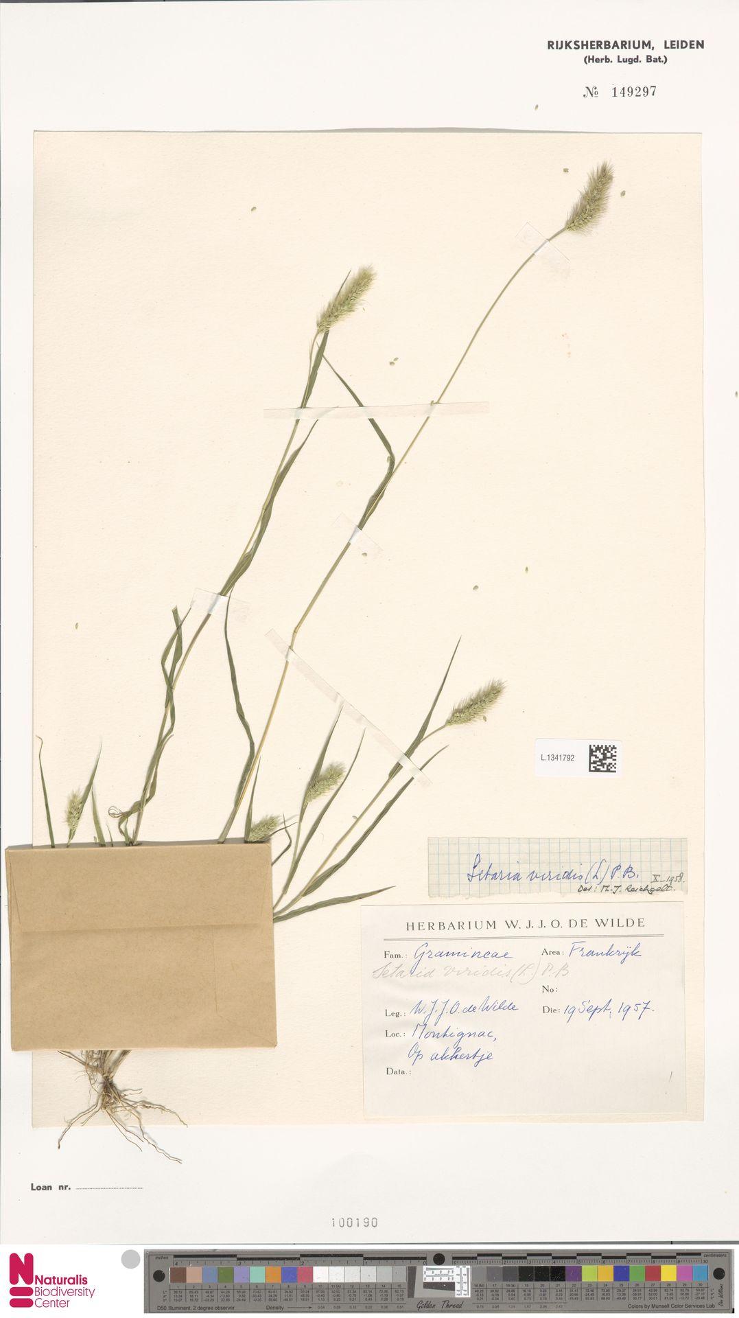 L.1341792 | Setaria viridis (L.) P.Beauv.