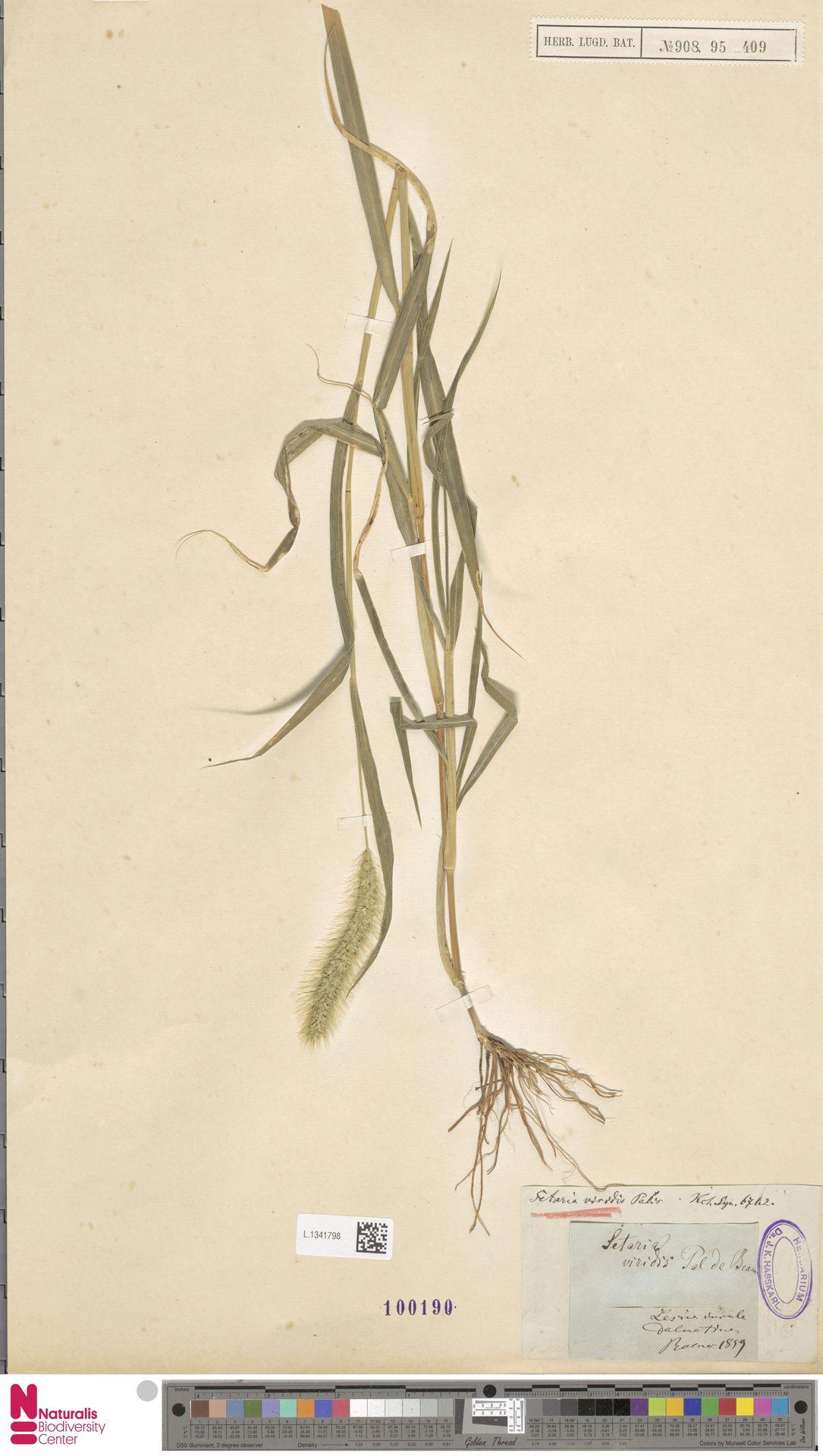 L.1341798 | Setaria viridis (L.) P.Beauv.