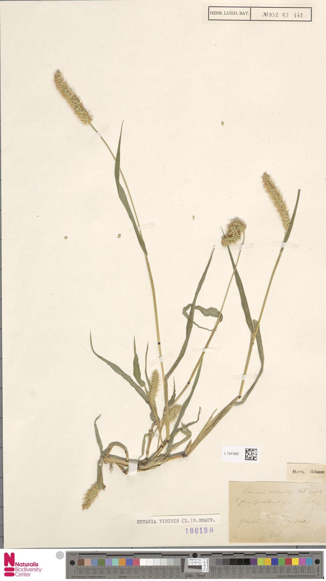 L.1341802 | Setaria viridis (L.) P.Beauv.