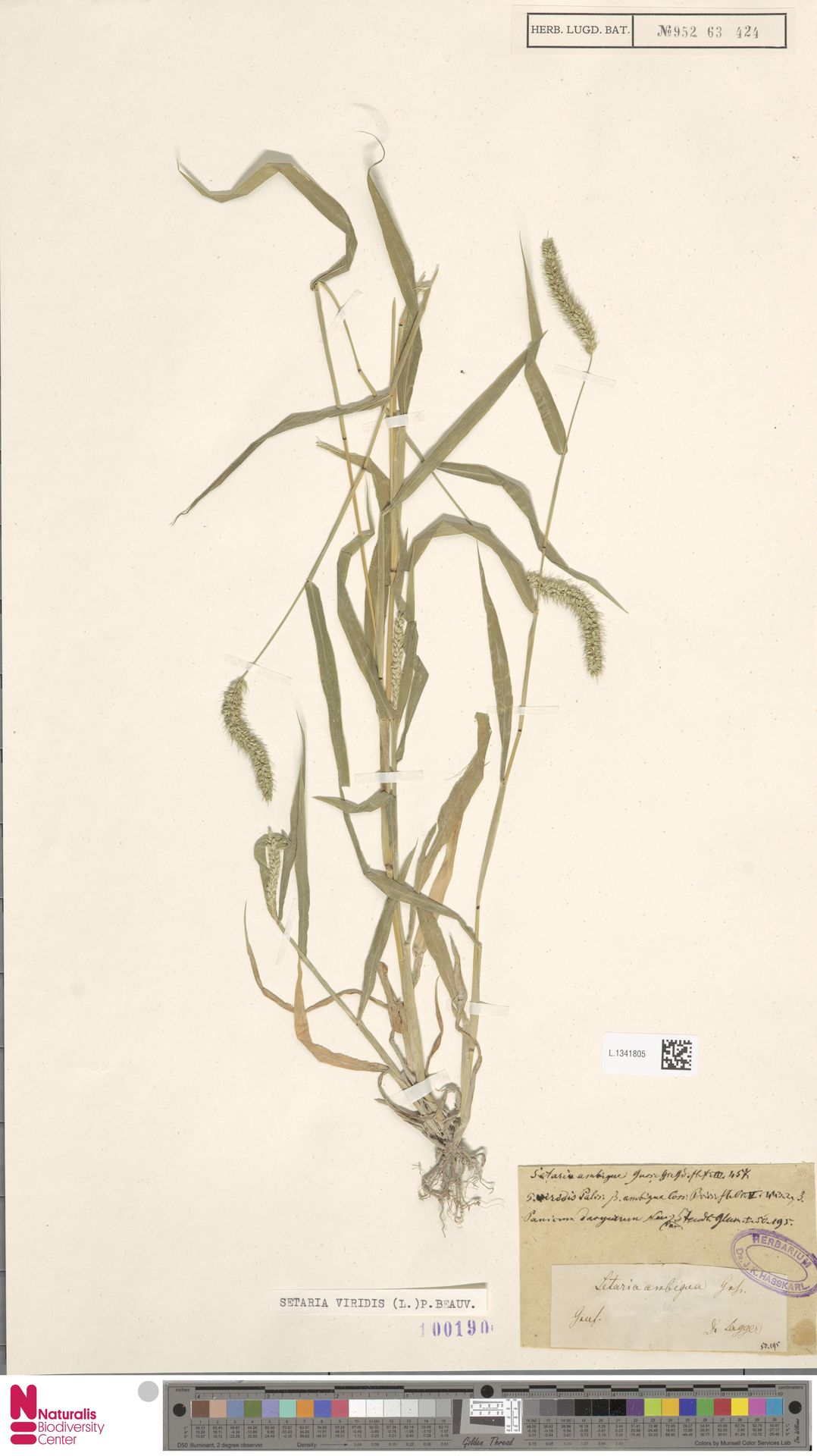 L.1341805 | Setaria viridis (L.) P.Beauv.