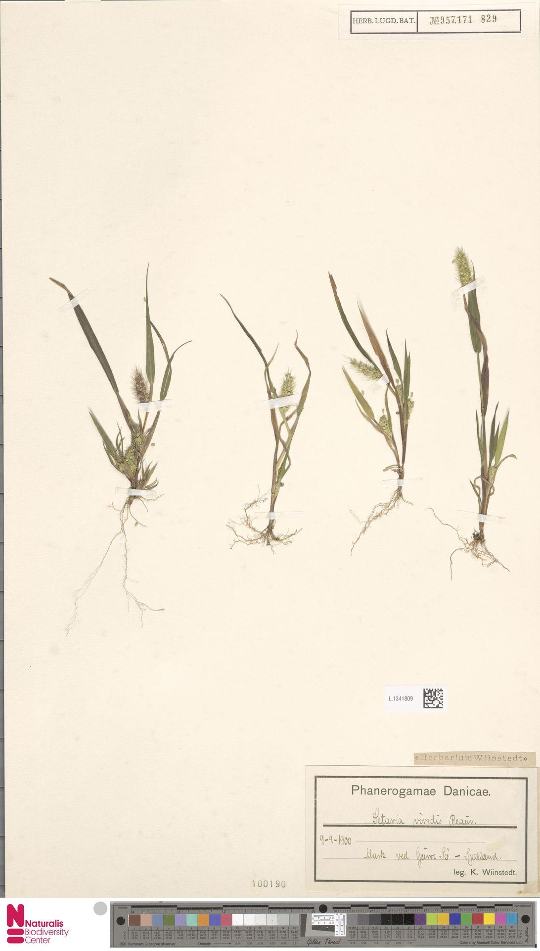 L.1341809 | Setaria viridis (L.) P.Beauv.