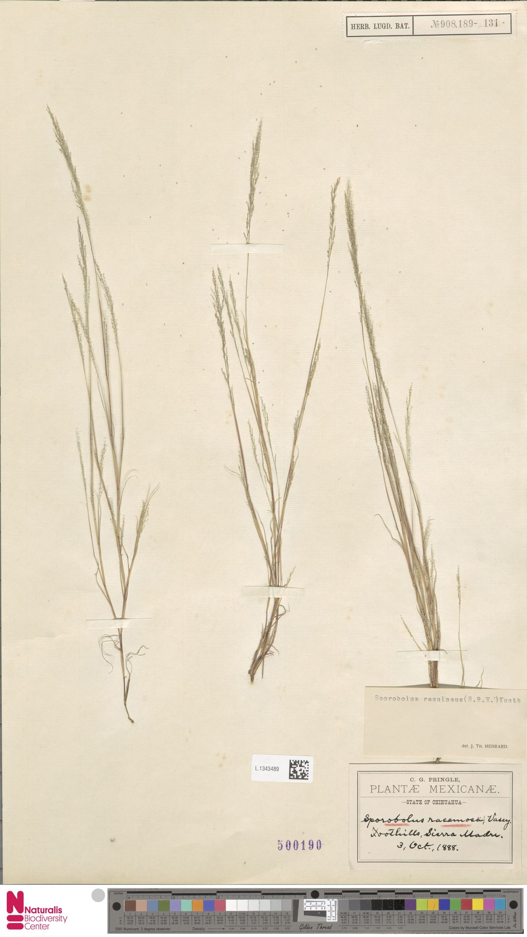 L.1343489 | Sporobolus ramulosus (Kunth) Kunth