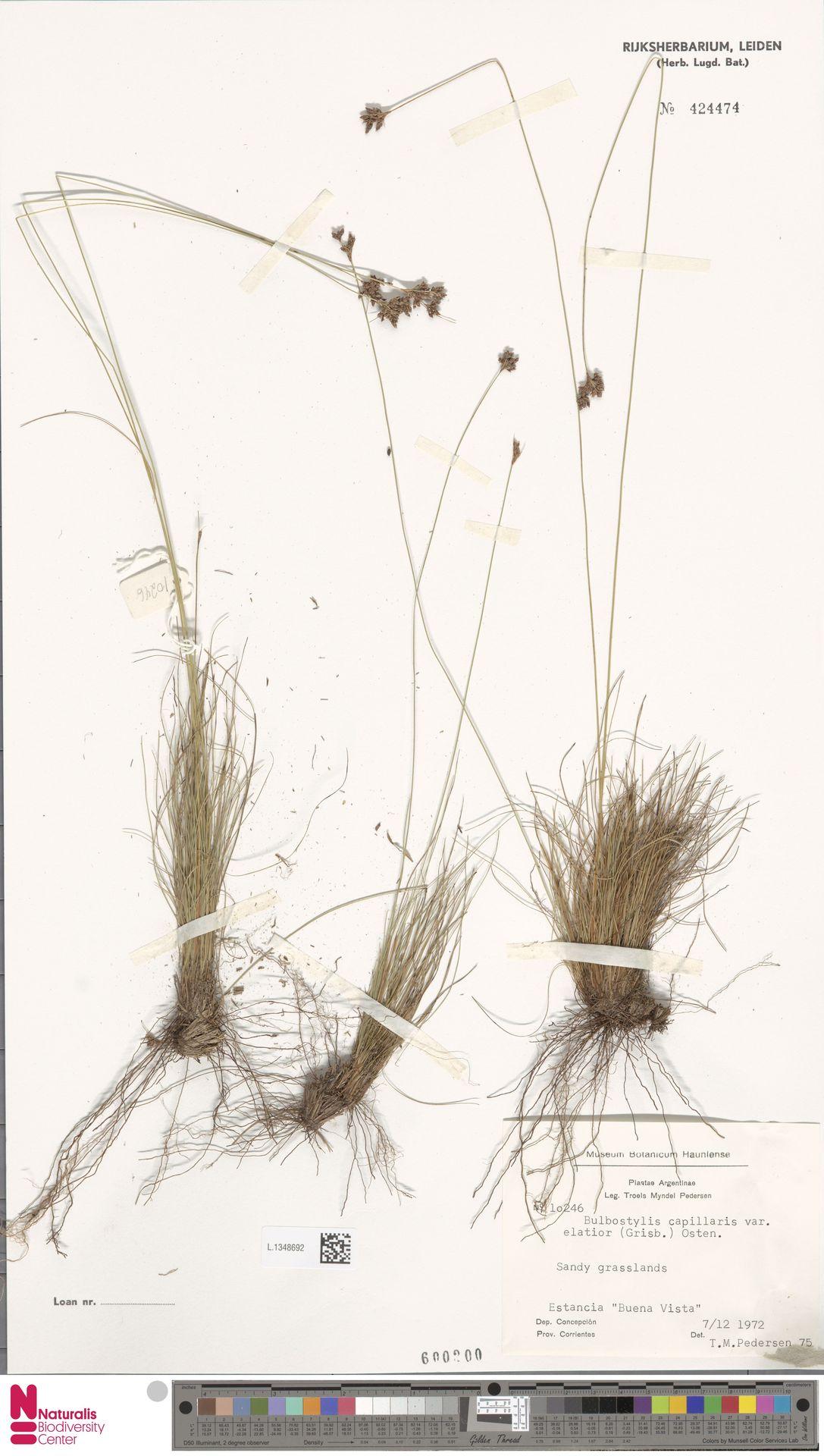 L.1348692 | Bulbostylis capillaris (L.) Kunth ex C.B.Clarke