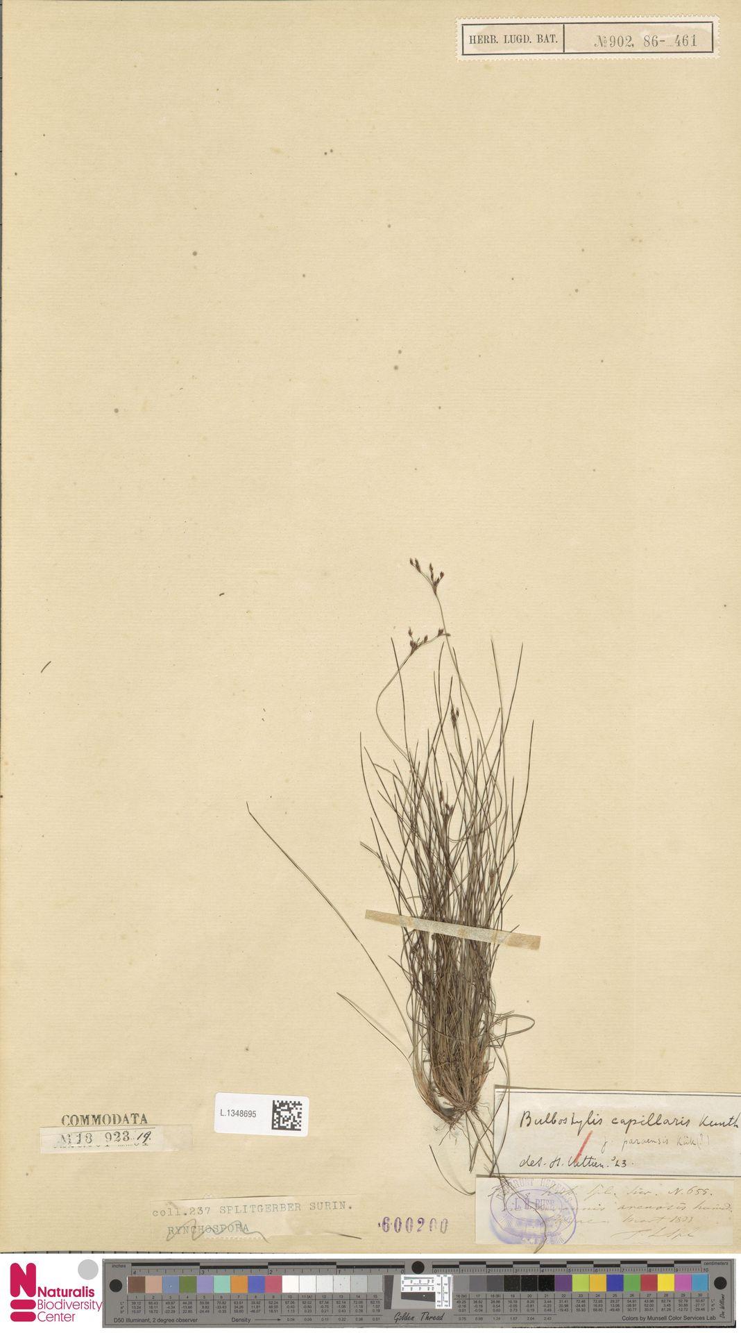 L.1348695 | Bulbostylis capillaris (L.) Kunth ex C.B.Clarke
