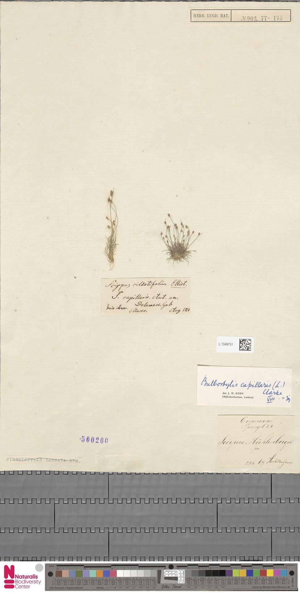 L.1348751 | Bulbostylis capillaris (L.) Kunth ex C.B.Clarke