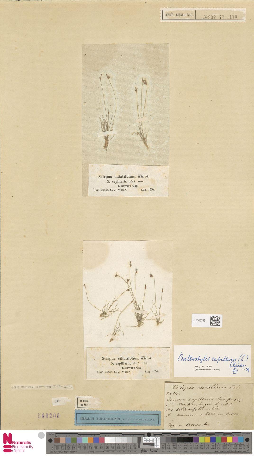 L.1348752 | Bulbostylis capillaris (L.) Kunth ex C.B.Clarke