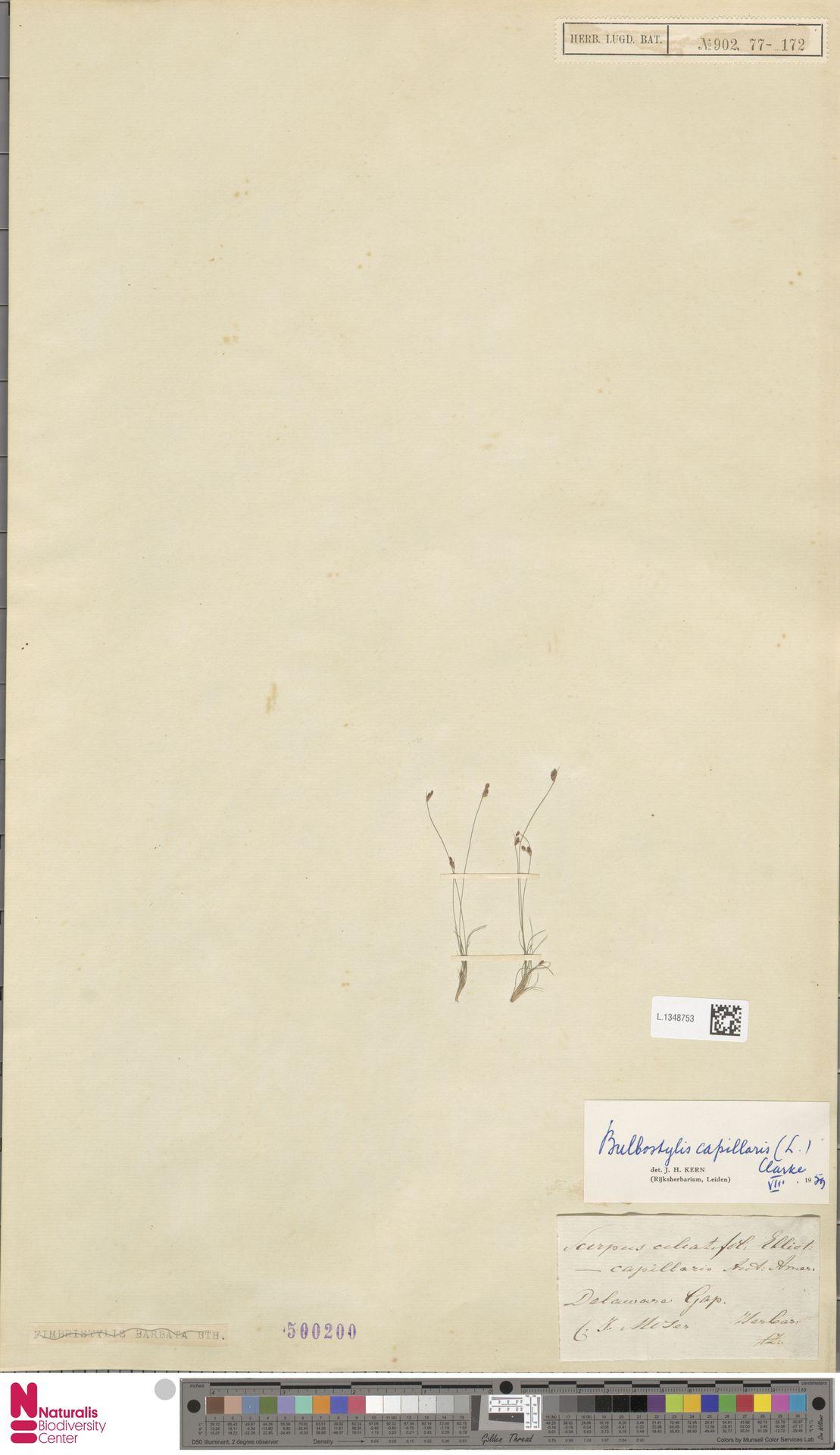 L.1348753 | Bulbostylis capillaris (L.) Kunth ex C.B.Clarke