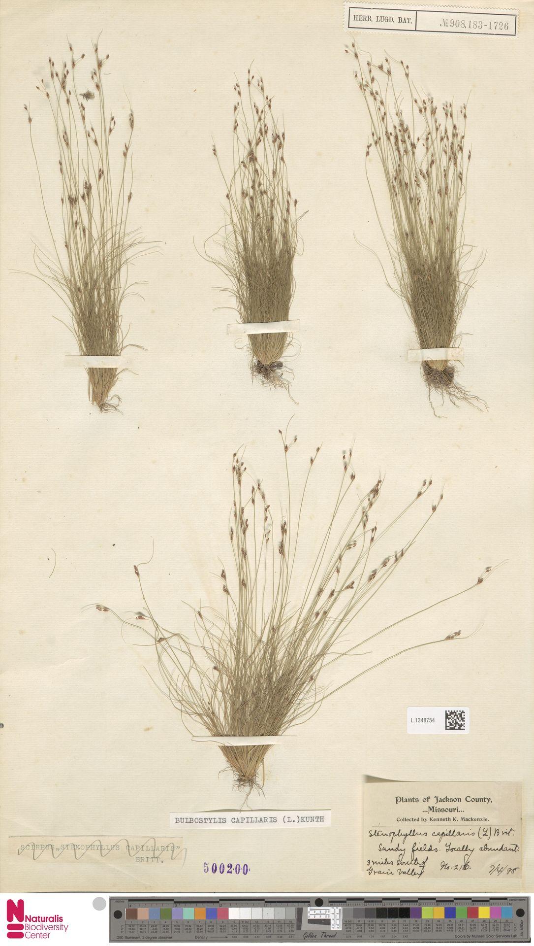 L.1348754 | Bulbostylis capillaris (L.) Kunth ex C.B.Clarke