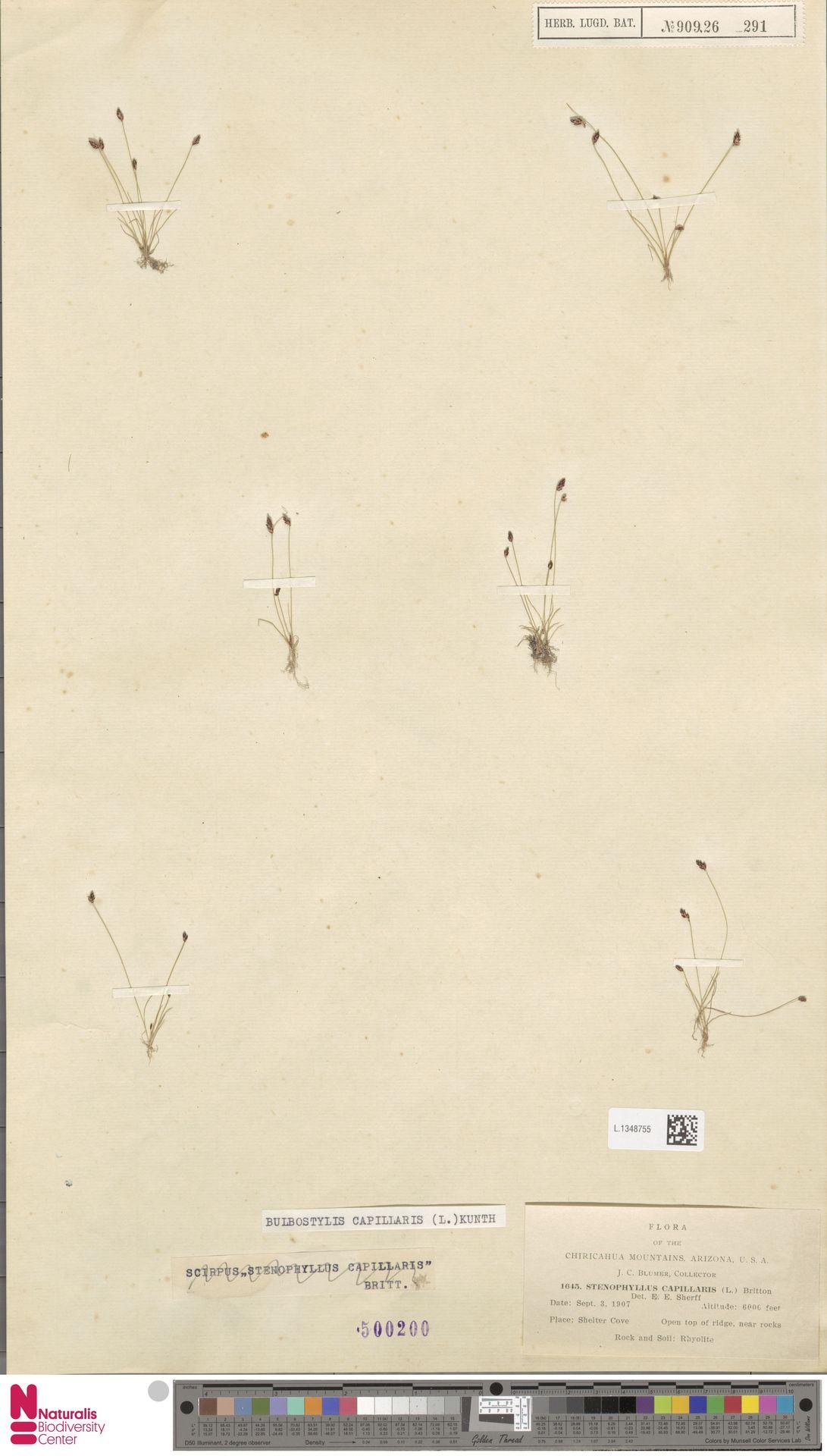 L.1348755 | Bulbostylis capillaris (L.) Kunth ex C.B.Clarke
