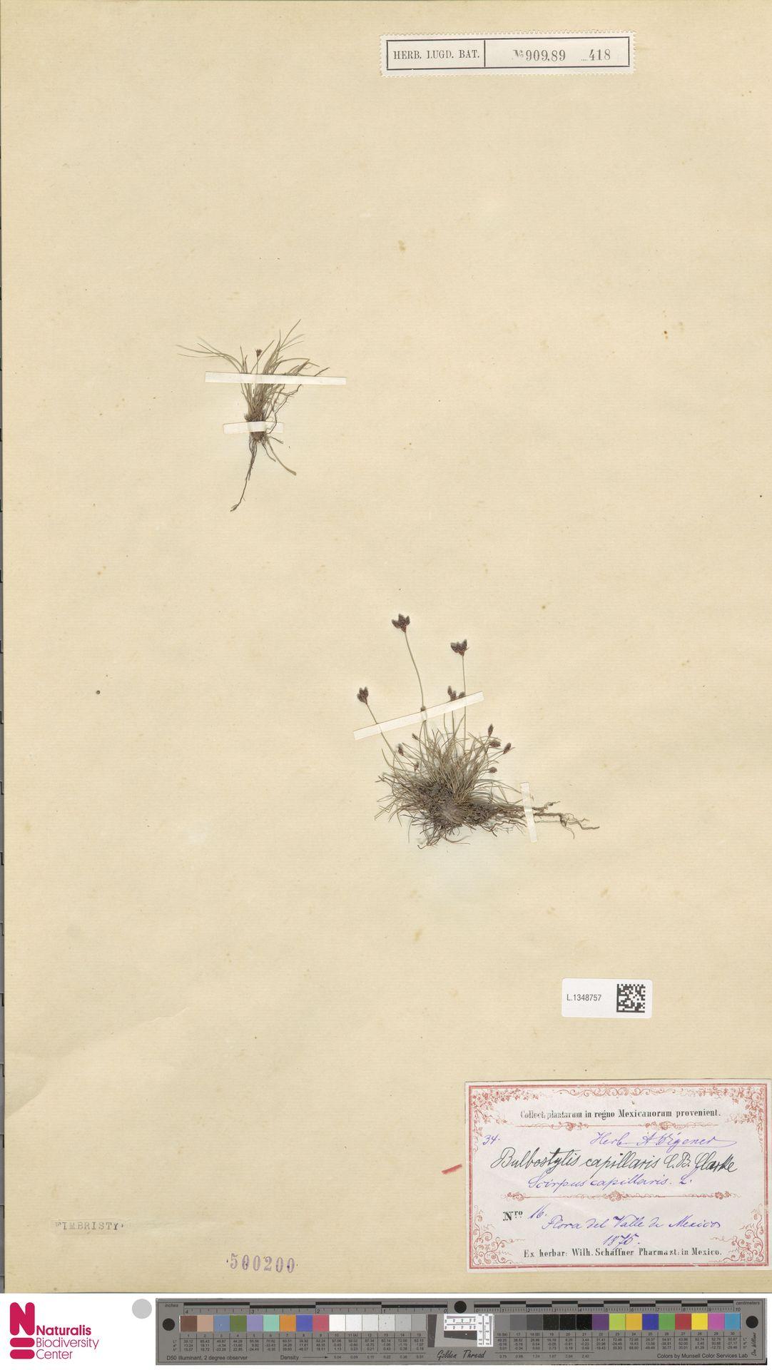 L.1348757 | Bulbostylis capillaris (L.) Kunth ex C.B.Clarke