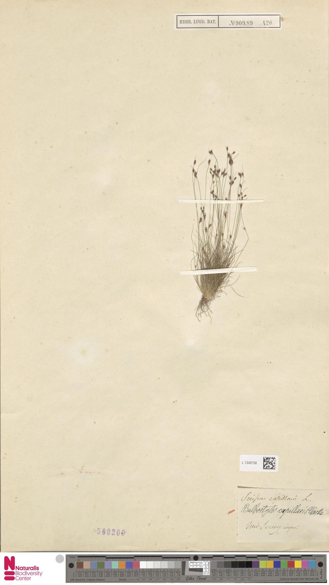 L.1348758 | Bulbostylis capillaris (L.) Kunth ex C.B.Clarke