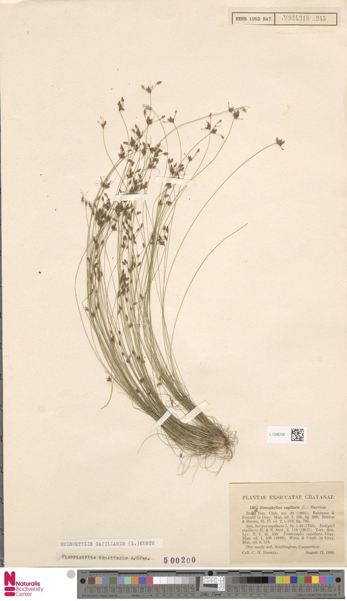 L.1348759 | Bulbostylis capillaris (L.) Kunth ex C.B.Clarke