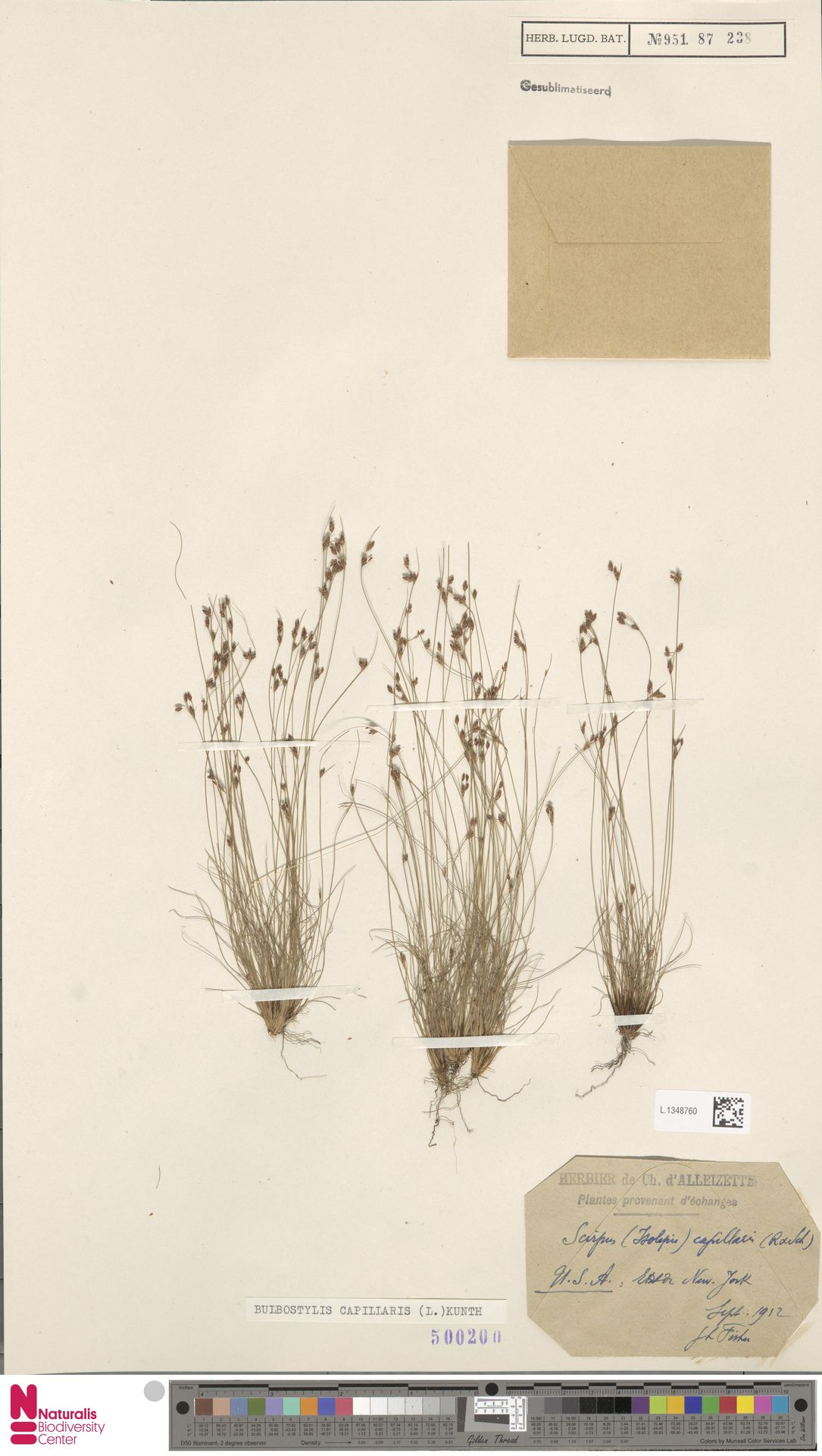 L.1348760 | Bulbostylis capillaris (L.) Kunth ex C.B.Clarke