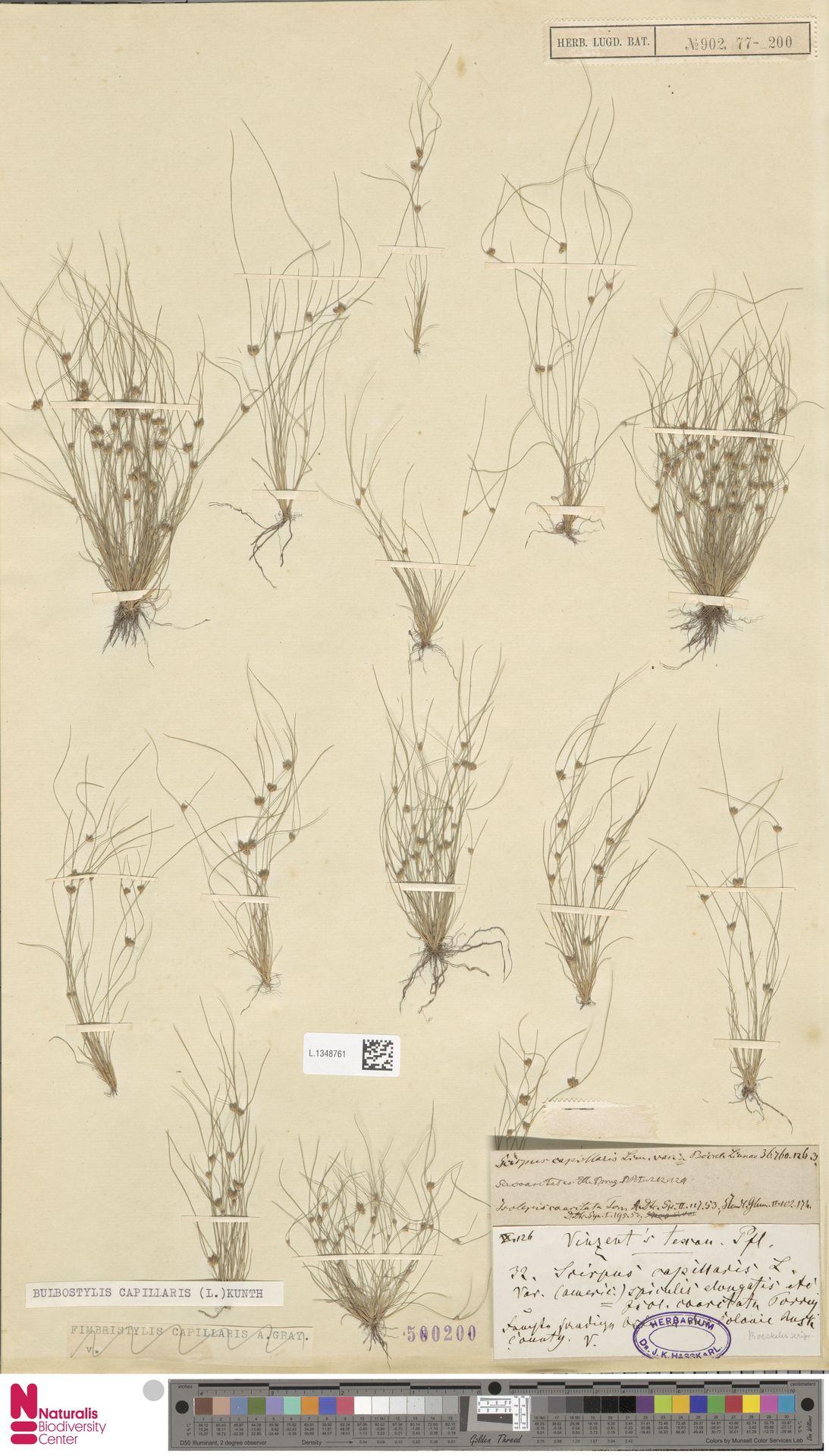 L.1348761 | Bulbostylis capillaris (L.) Kunth ex C.B.Clarke