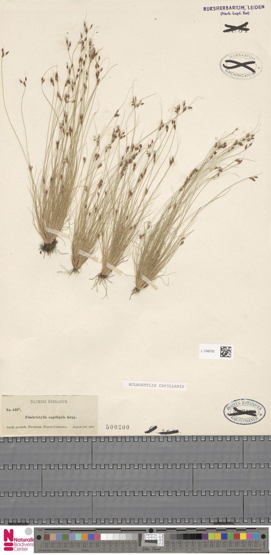 L.1348762 | Bulbostylis capillaris (L.) Kunth ex C.B.Clarke