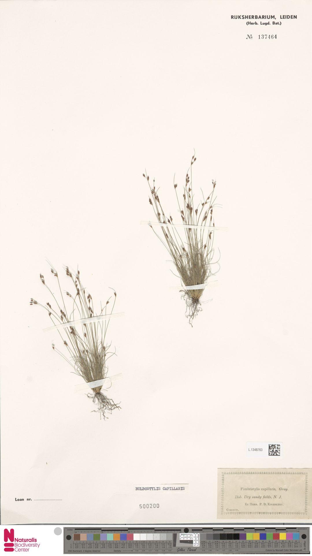 L.1348763 | Bulbostylis capillaris (L.) Kunth ex C.B.Clarke