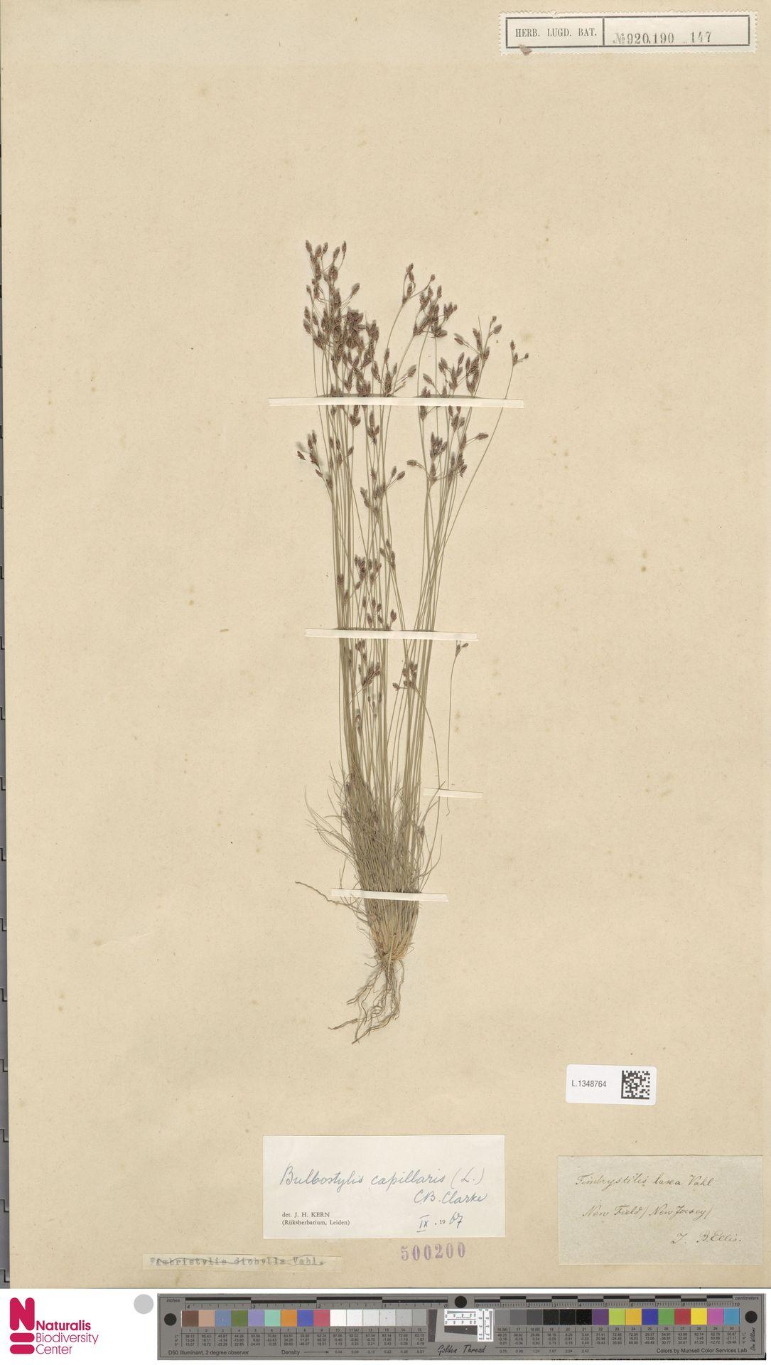 L.1348764 | Bulbostylis capillaris (L.) Kunth ex C.B.Clarke