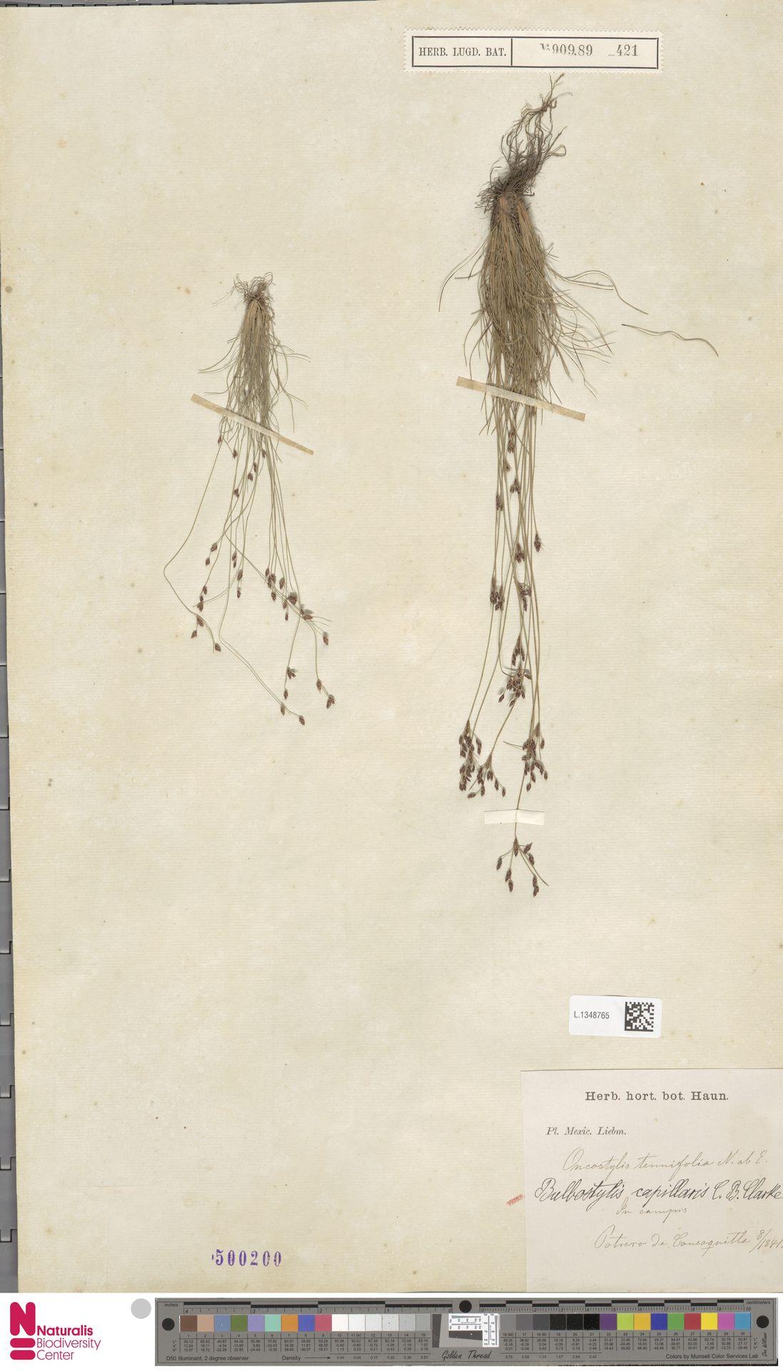 L.1348765 | Bulbostylis capillaris (L.) Kunth ex C.B.Clarke
