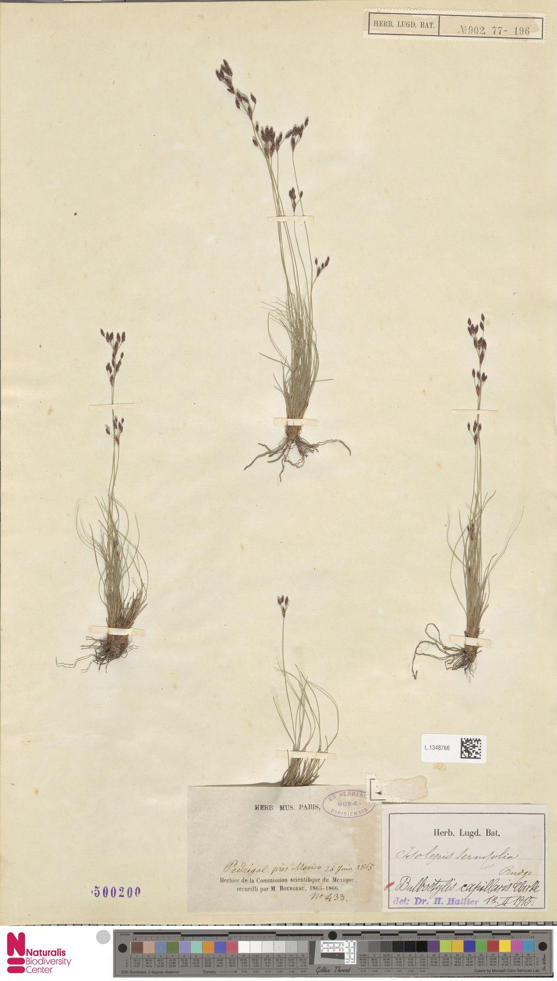 L.1348766 | Bulbostylis capillaris (L.) Kunth ex C.B.Clarke