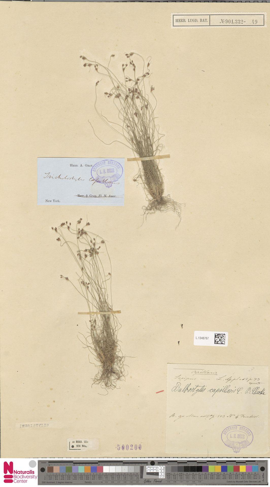 L.1348767 | Bulbostylis capillaris (L.) Kunth ex C.B.Clarke