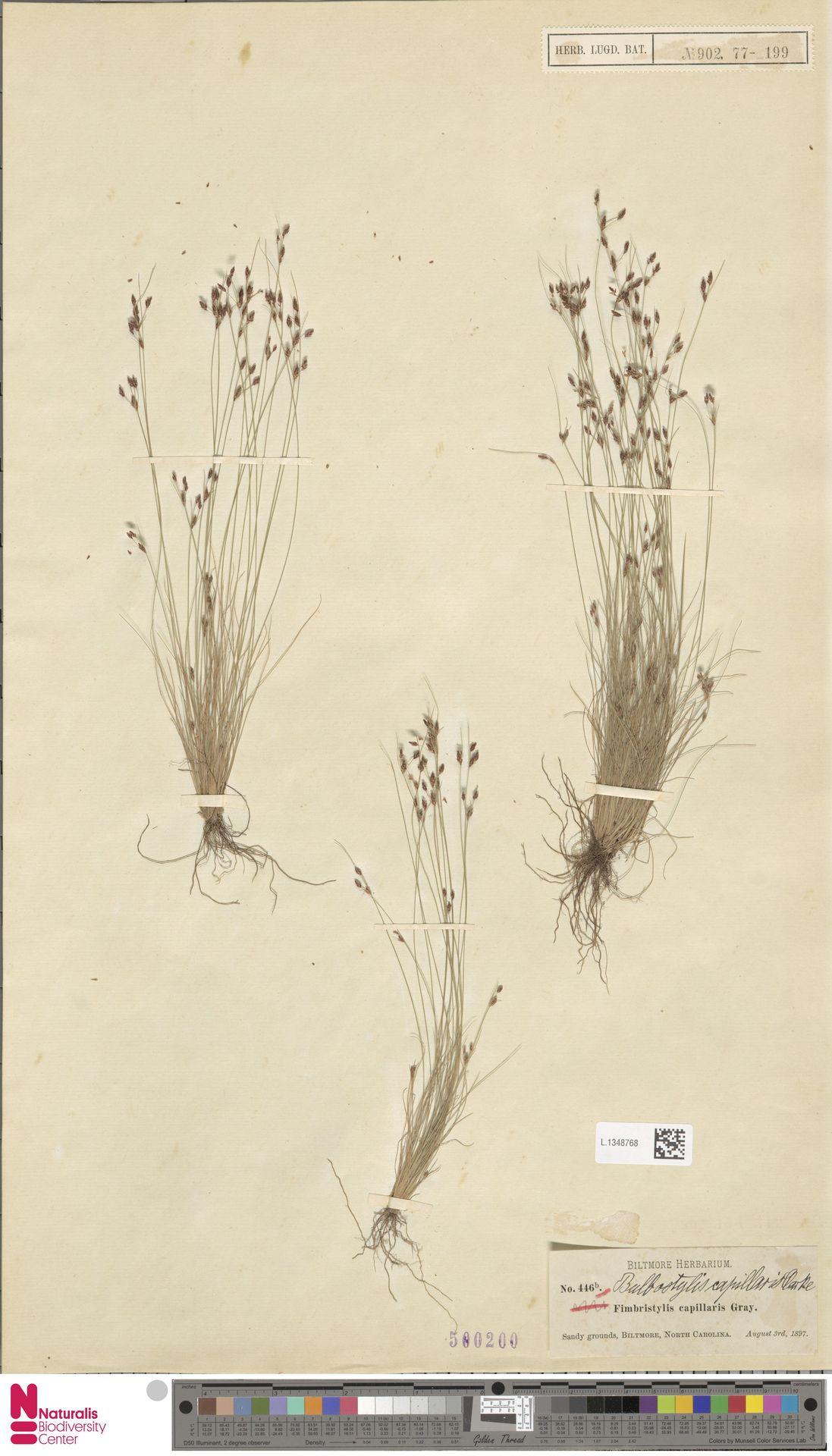 L.1348768 | Bulbostylis capillaris (L.) Kunth ex C.B.Clarke