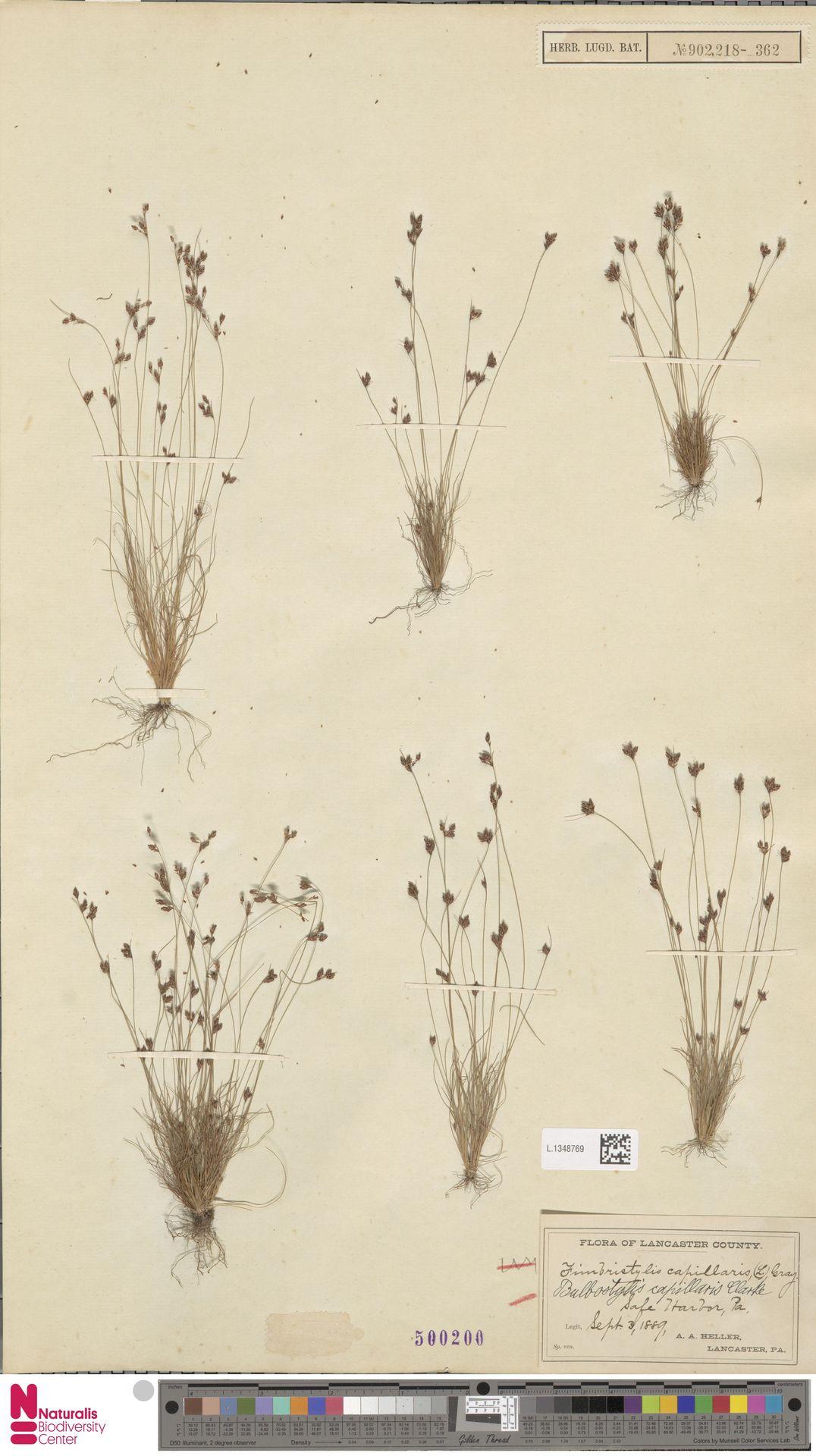 L.1348769 | Bulbostylis capillaris (L.) Kunth ex C.B.Clarke