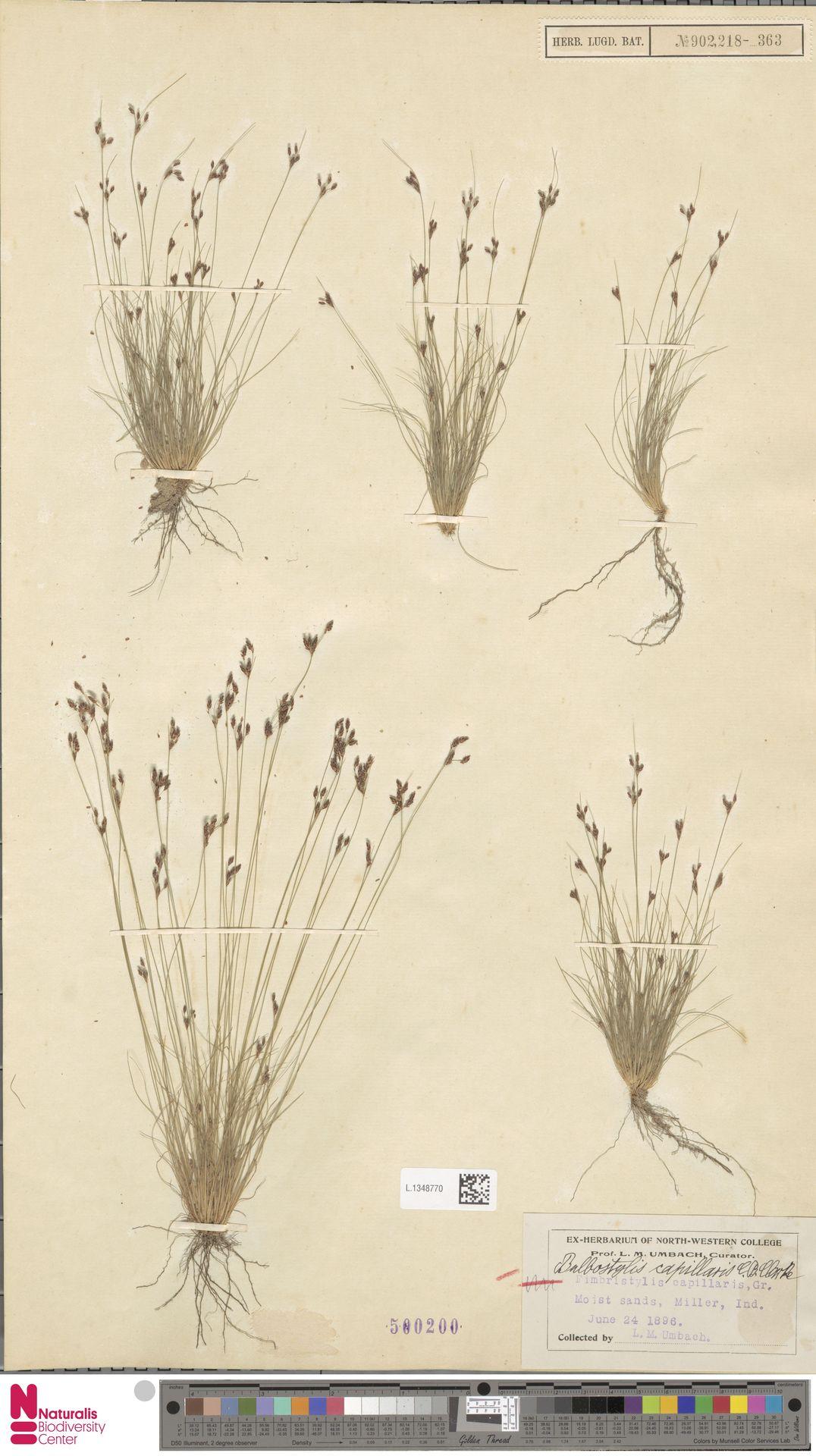 L.1348770 | Bulbostylis capillaris (L.) Kunth ex C.B.Clarke