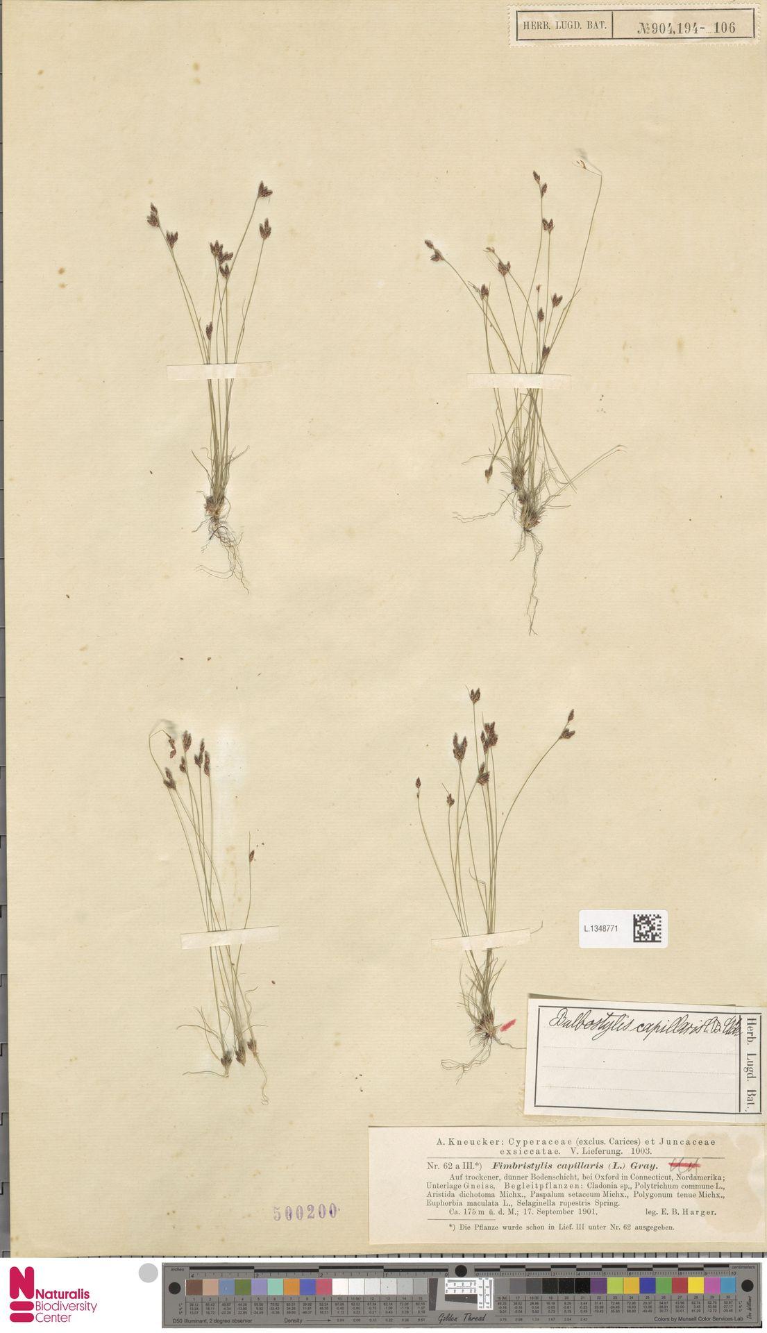 L.1348771 | Bulbostylis capillaris (L.) Kunth ex C.B.Clarke