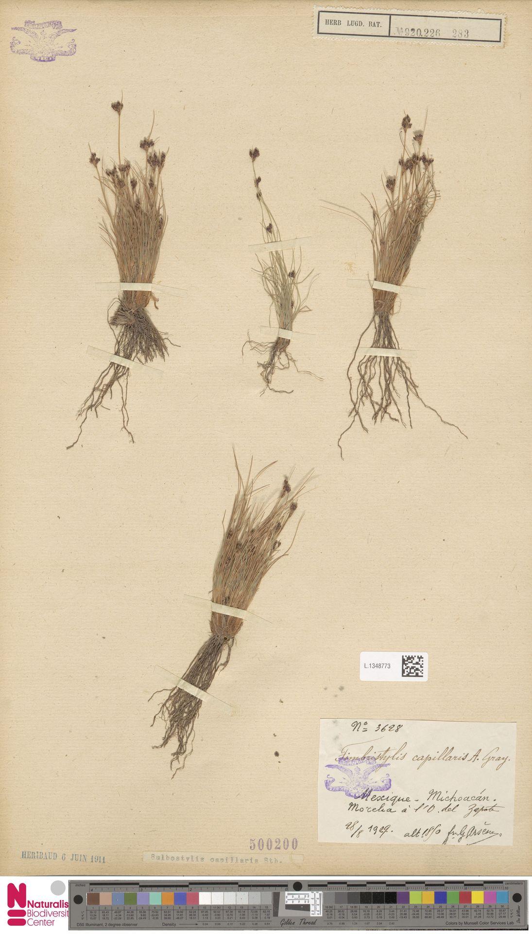 L.1348773 | Bulbostylis capillaris (L.) Kunth ex C.B.Clarke