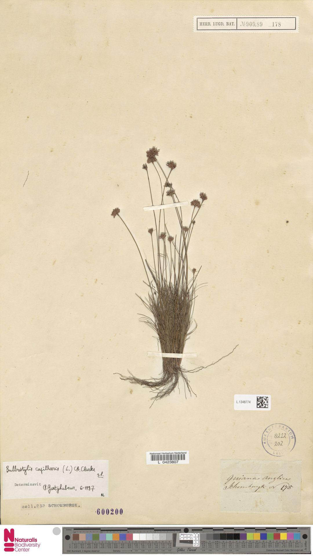 L.1348774 | Bulbostylis capillaris (L.) Kunth ex C.B.Clarke