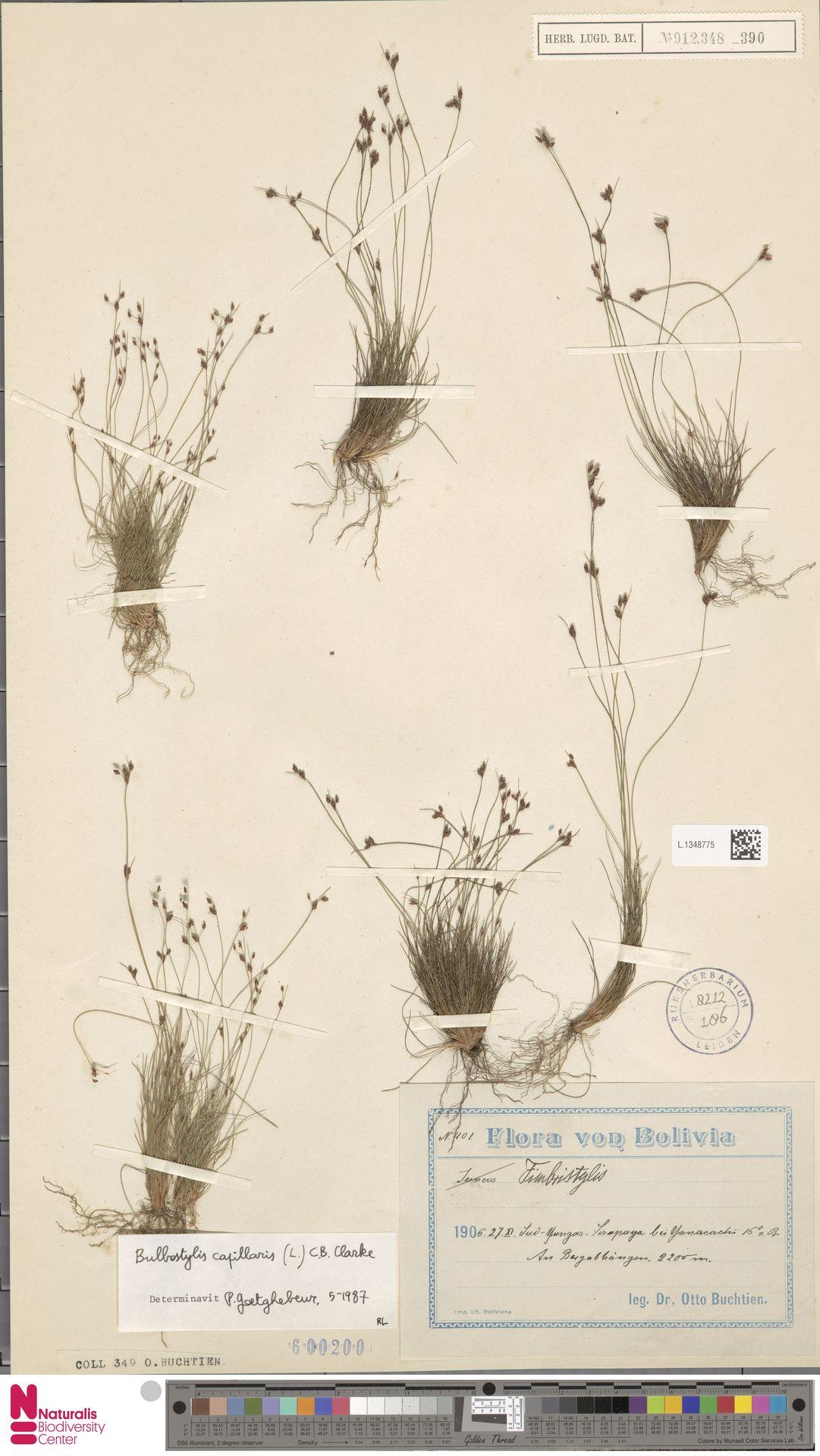 L.1348775 | Bulbostylis capillaris (L.) Kunth ex C.B.Clarke