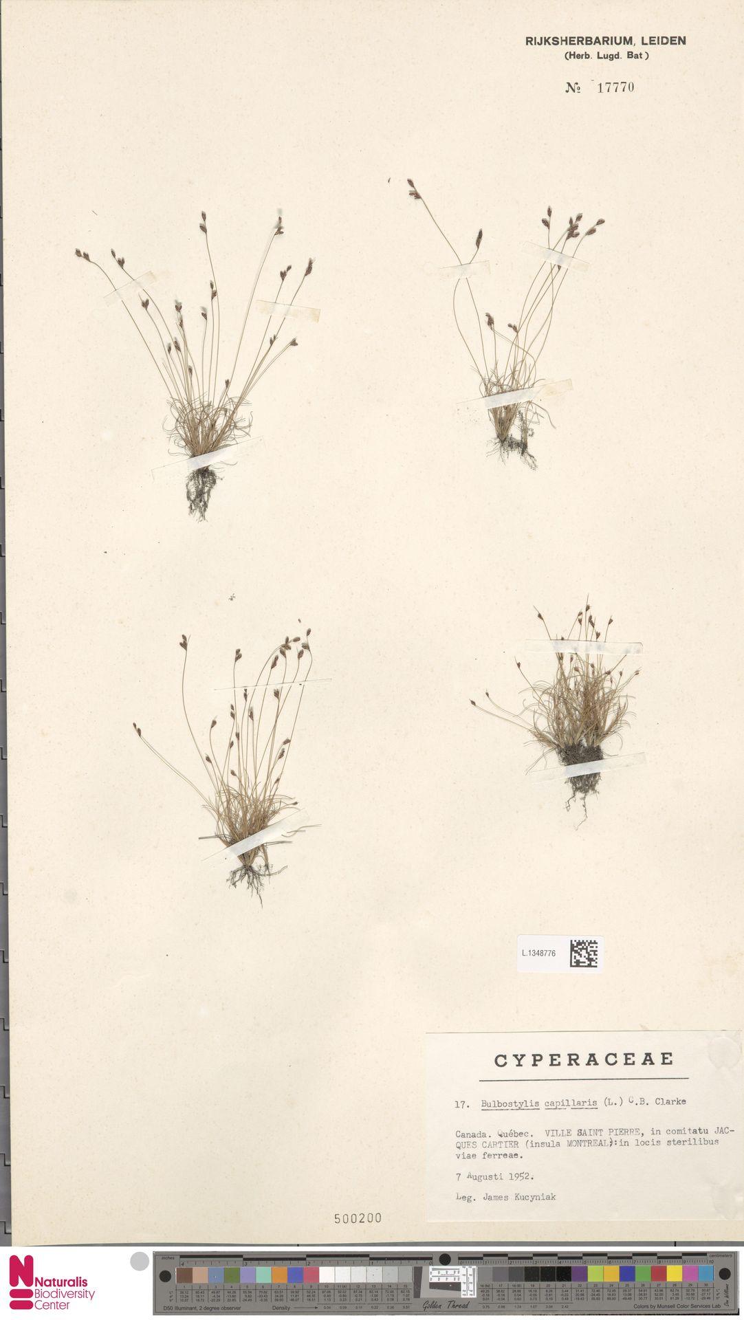 L.1348776 | Bulbostylis capillaris (L.) Kunth ex C.B.Clarke