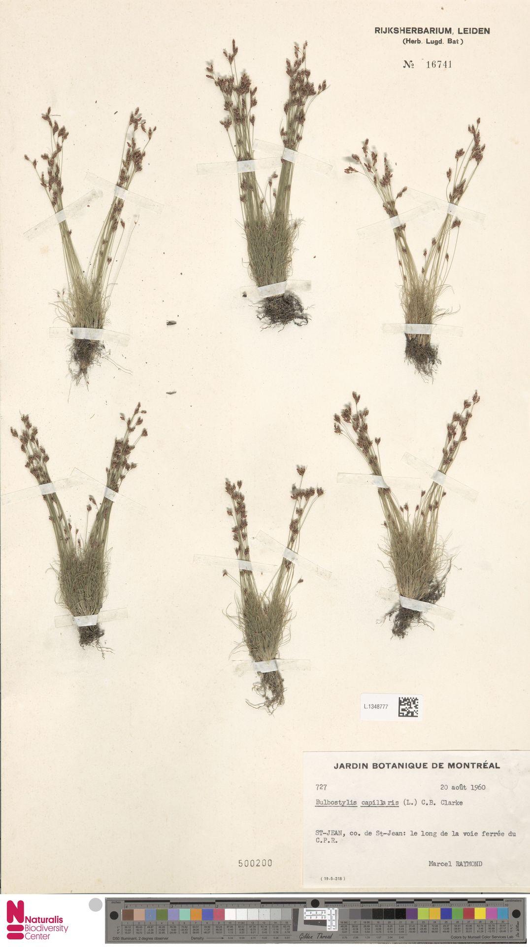 L.1348777 | Bulbostylis capillaris (L.) Kunth ex C.B.Clarke