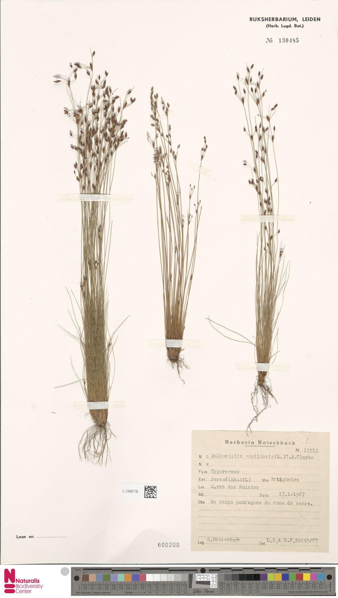 L.1348778 | Bulbostylis capillaris (L.) Kunth ex C.B.Clarke