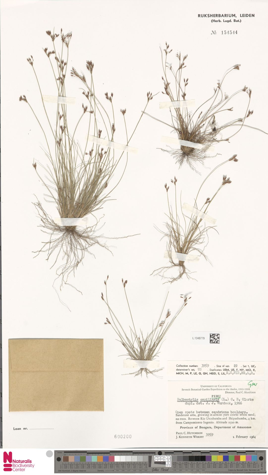 L.1348779   Bulbostylis capillaris (L.) Kunth ex C.B.Clarke