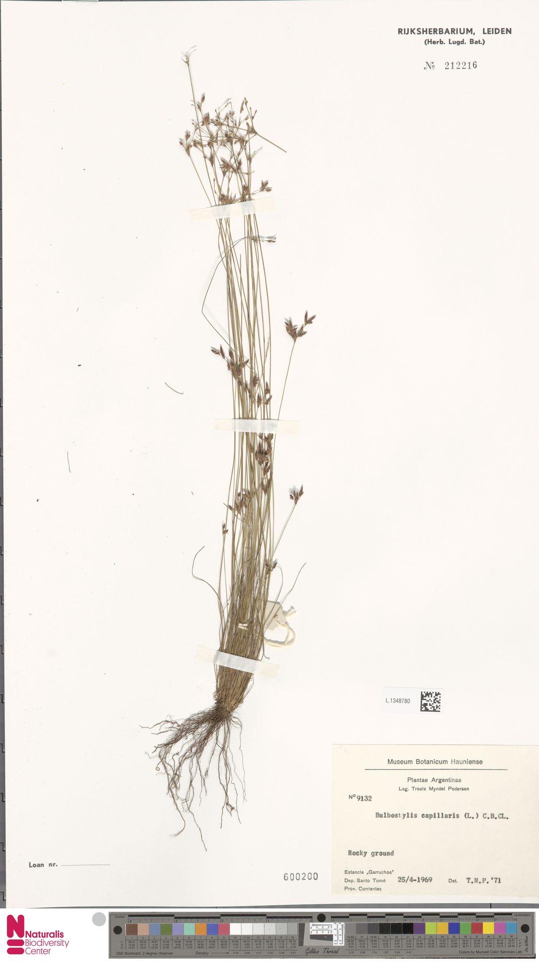 L.1348780 | Bulbostylis capillaris (L.) Kunth ex C.B.Clarke
