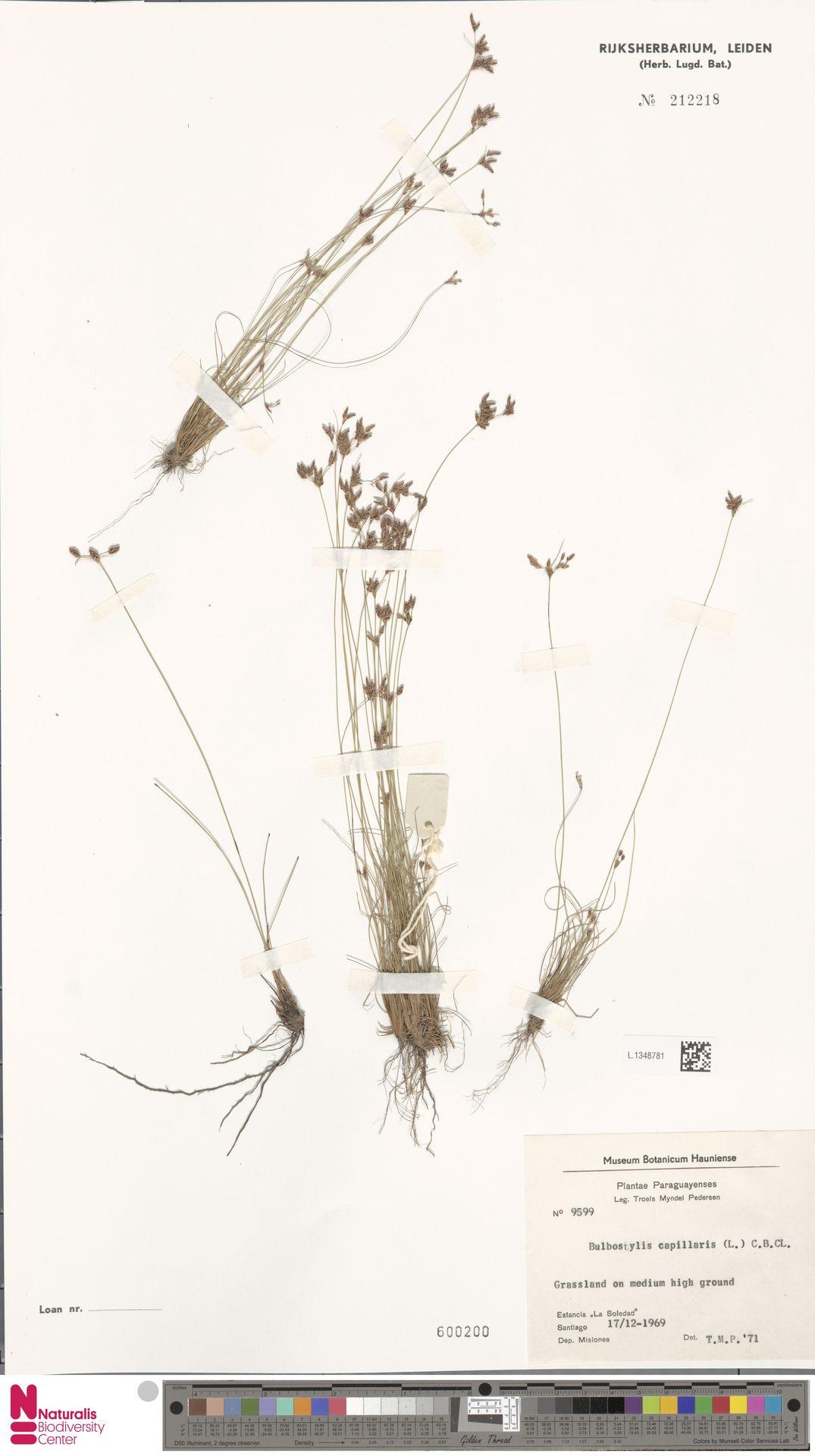 L.1348781 | Bulbostylis capillaris (L.) Kunth ex C.B.Clarke