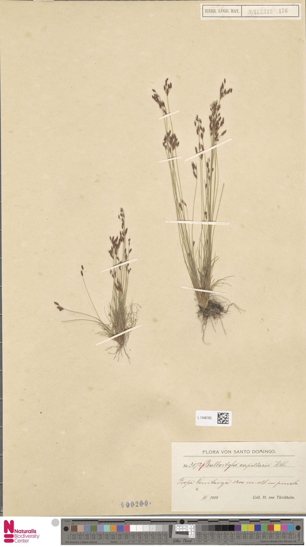 L.1348783 | Bulbostylis capillaris (L.) Kunth ex C.B.Clarke