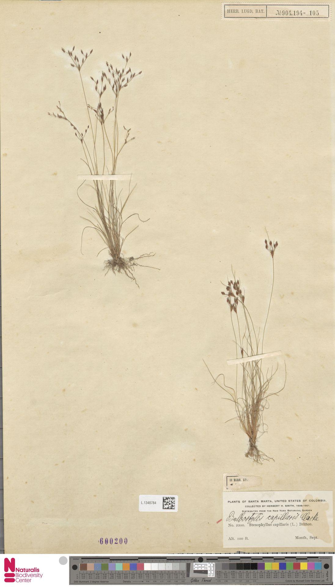 L.1348784   Bulbostylis capillaris (L.) Kunth ex C.B.Clarke