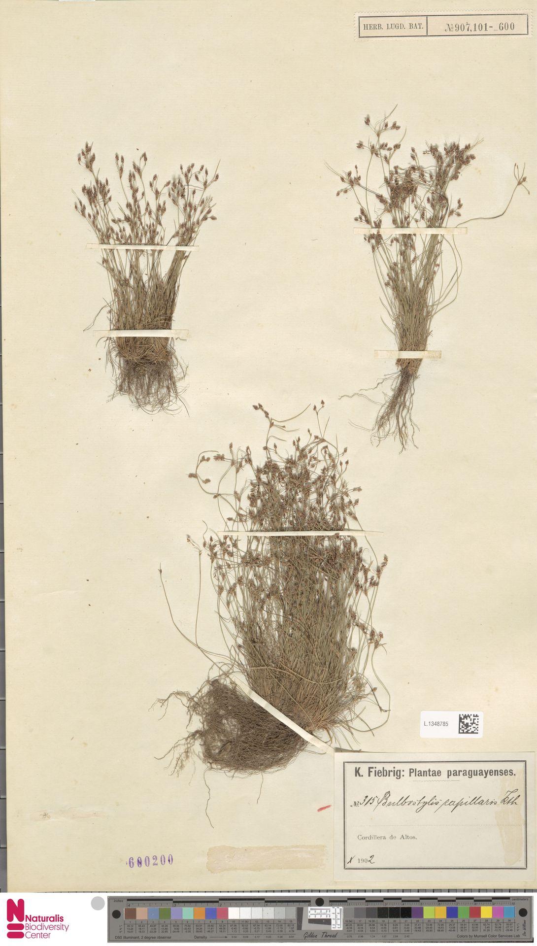 L.1348785 | Bulbostylis capillaris (L.) Kunth ex C.B.Clarke